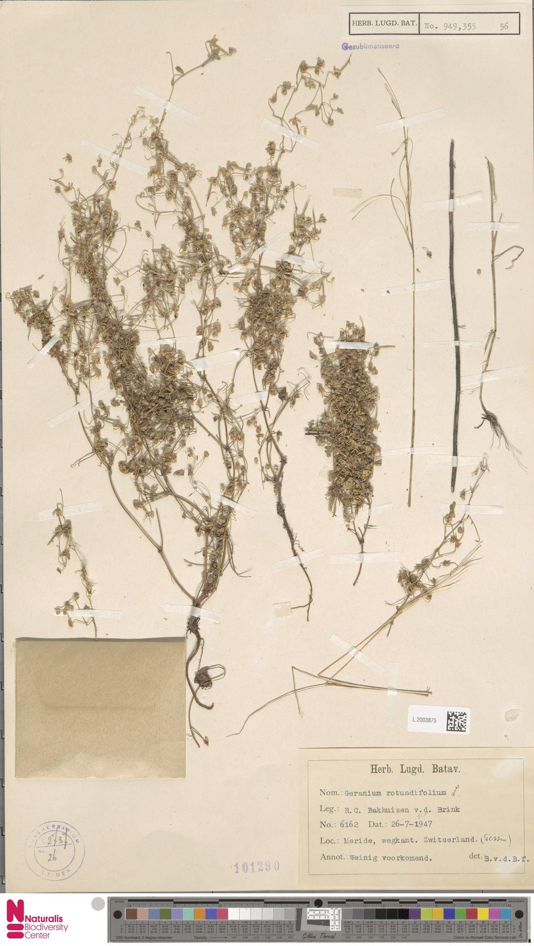 L.2003875 | Geranium rotundifolium L.