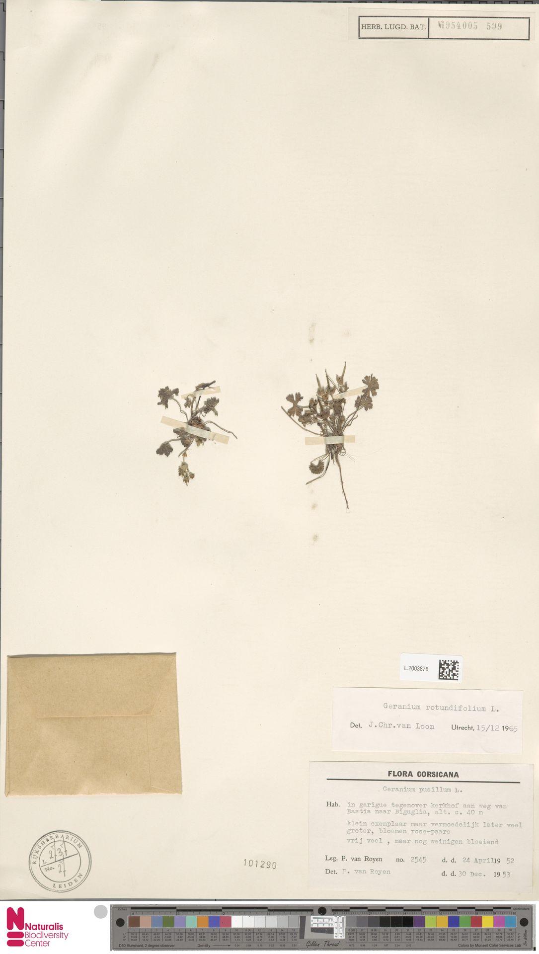 L.2003876 | Geranium rotundifolium L.
