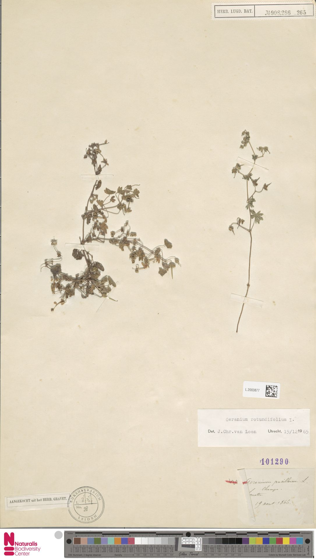 L.2003877 | Geranium rotundifolium L.