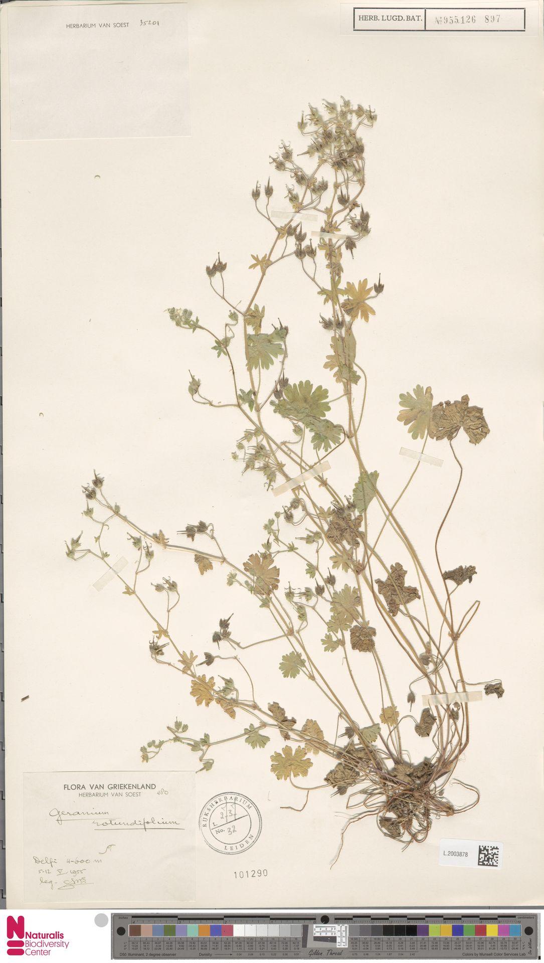 L.2003878 | Geranium rotundifolium L.