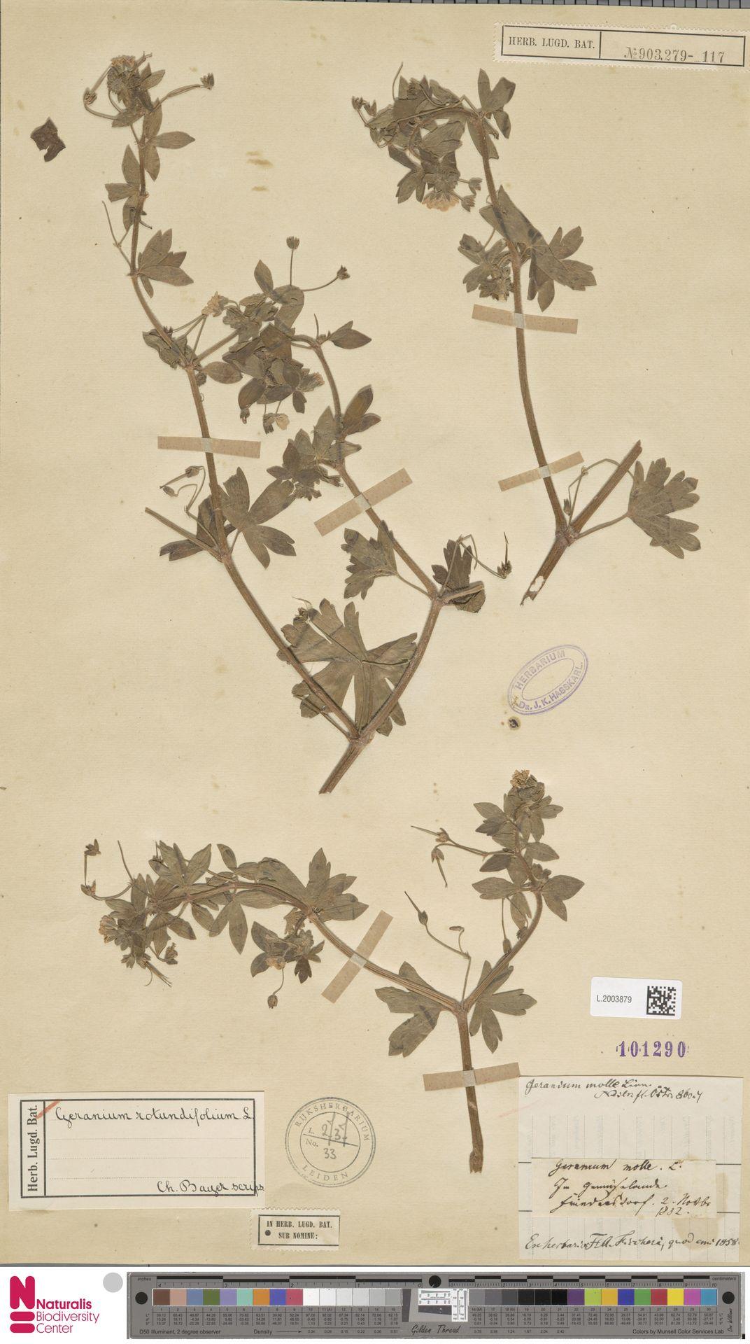 L.2003879 | Geranium rotundifolium L.