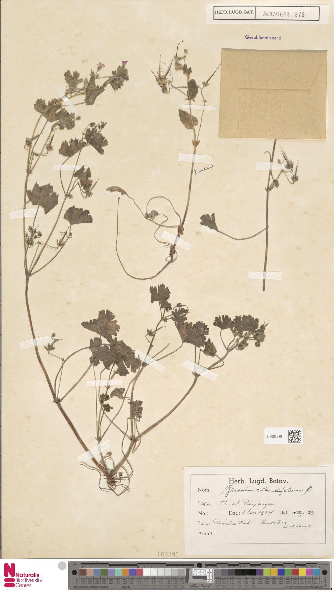 L.2003880   Geranium rotundifolium L.