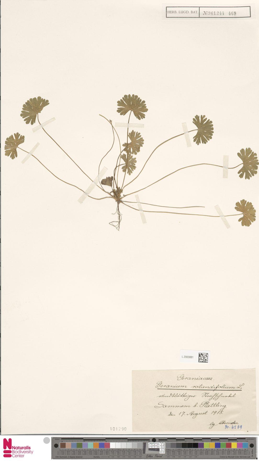 L.2003881 | Geranium rotundifolium L.