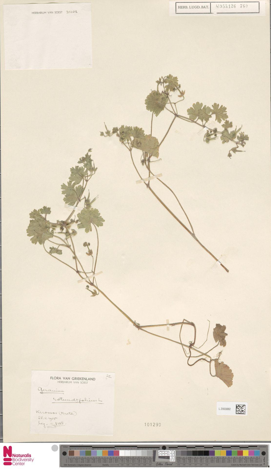 L.2003882   Geranium rotundifolium L.