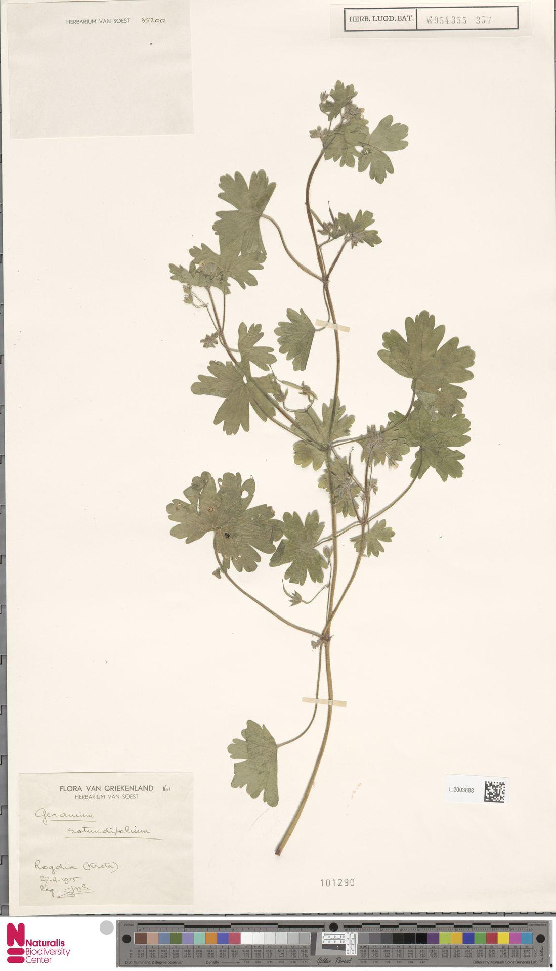 L.2003883 | Geranium rotundifolium L.
