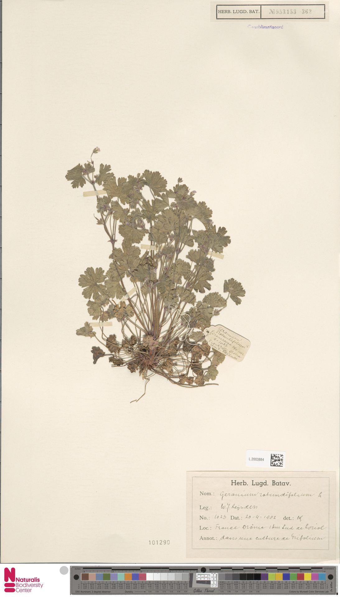 L.2003884 | Geranium rotundifolium L.