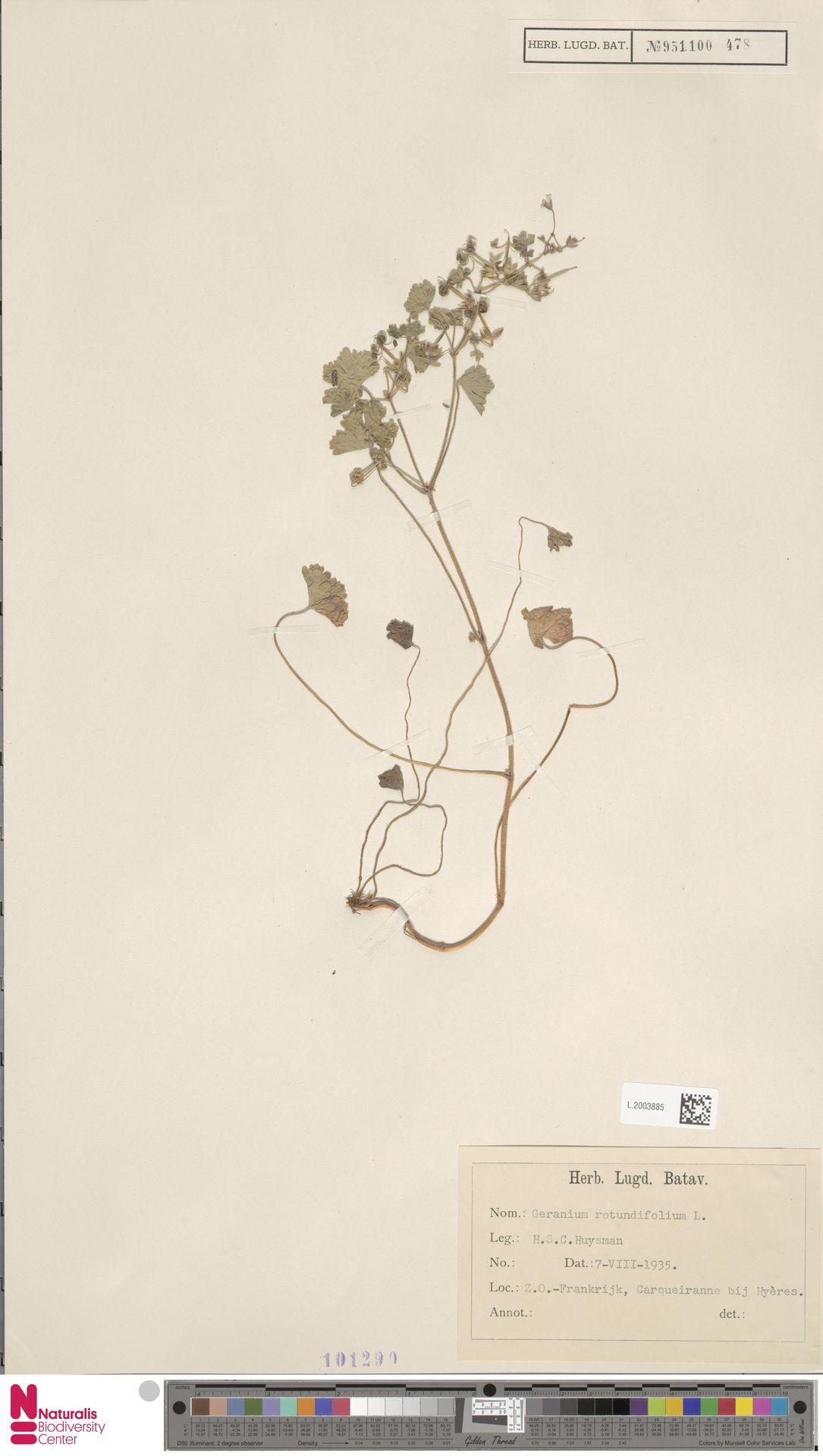 L.2003885 | Geranium rotundifolium L.