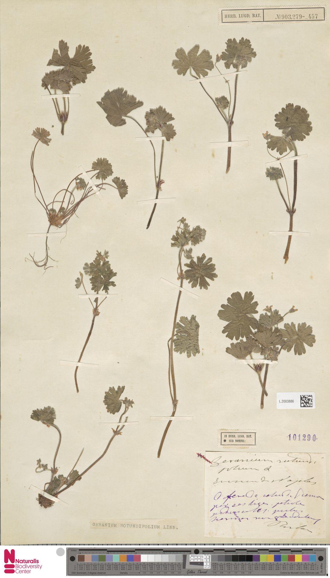 L.2003886 | Geranium rotundifolium L.