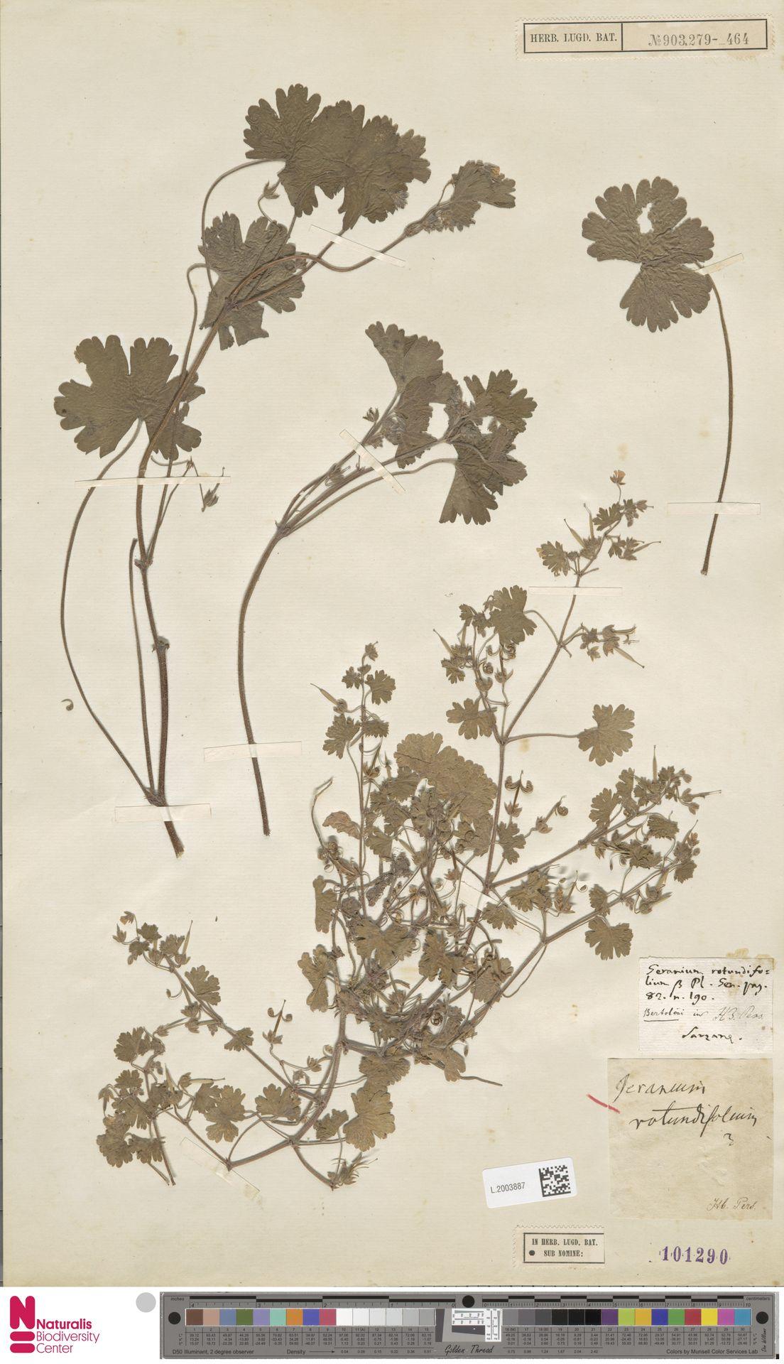 L.2003887 | Geranium rotundifolium L.