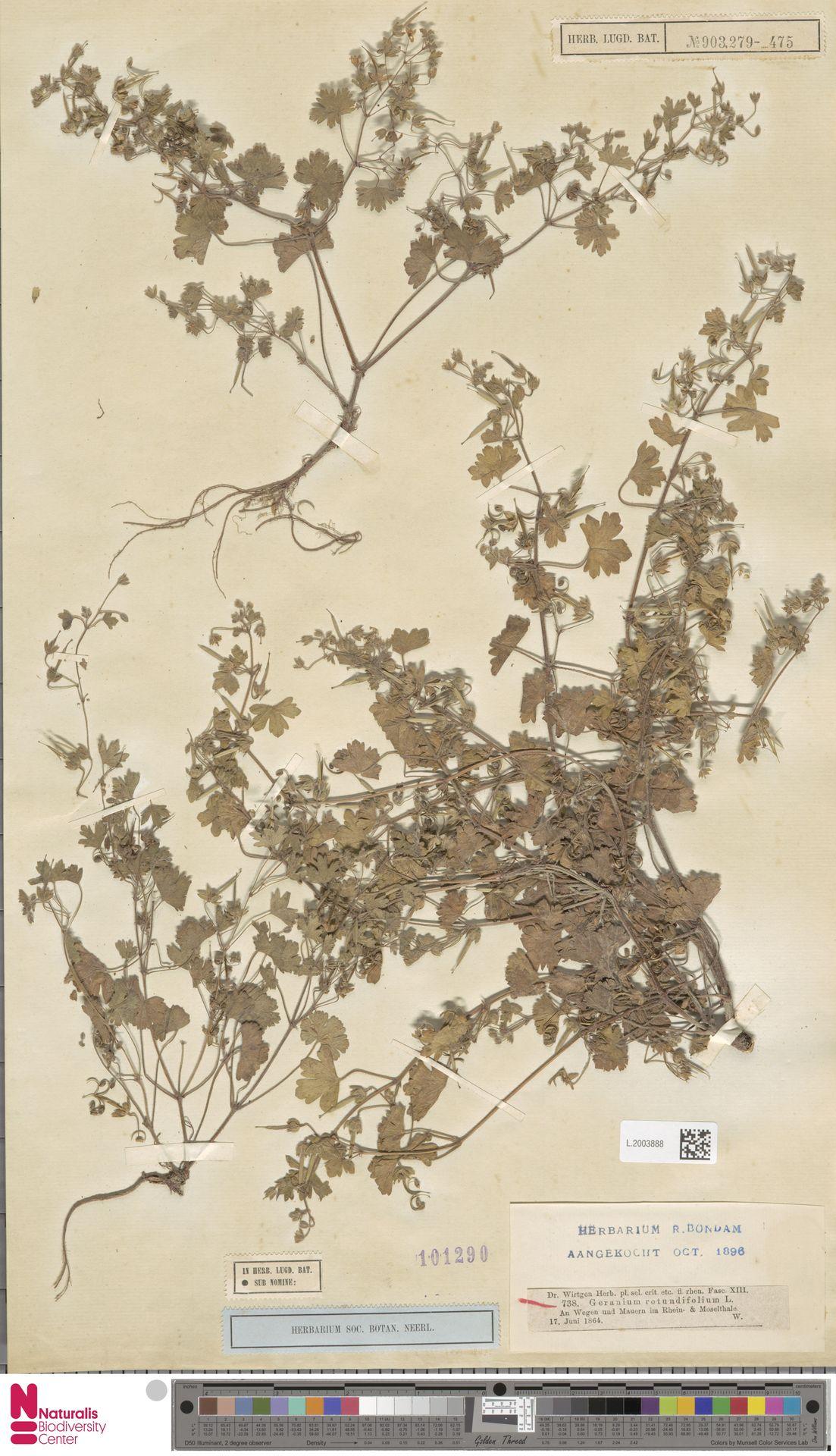 L.2003888 | Geranium rotundifolium L.