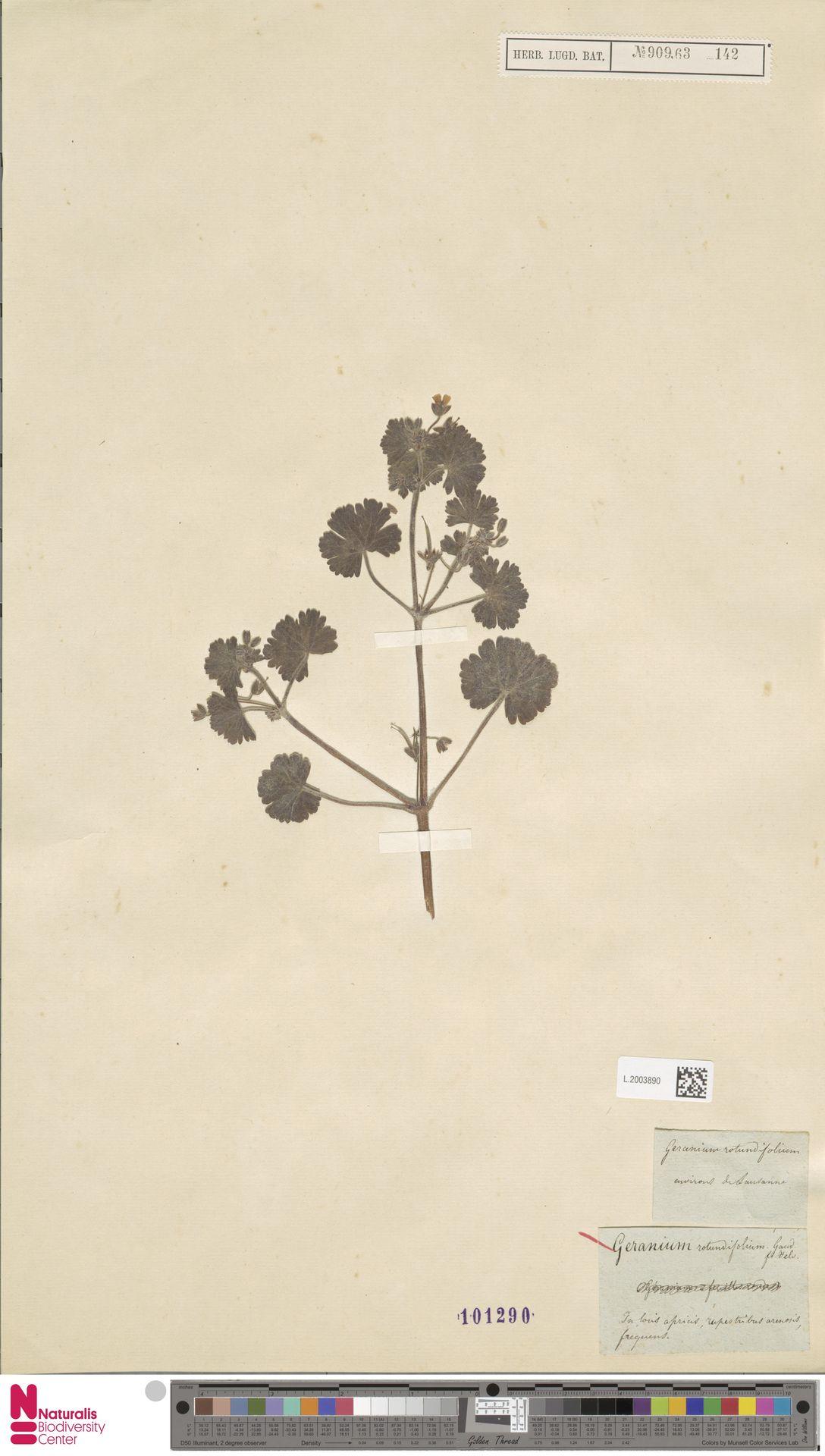 L.2003890   Geranium rotundifolium L.