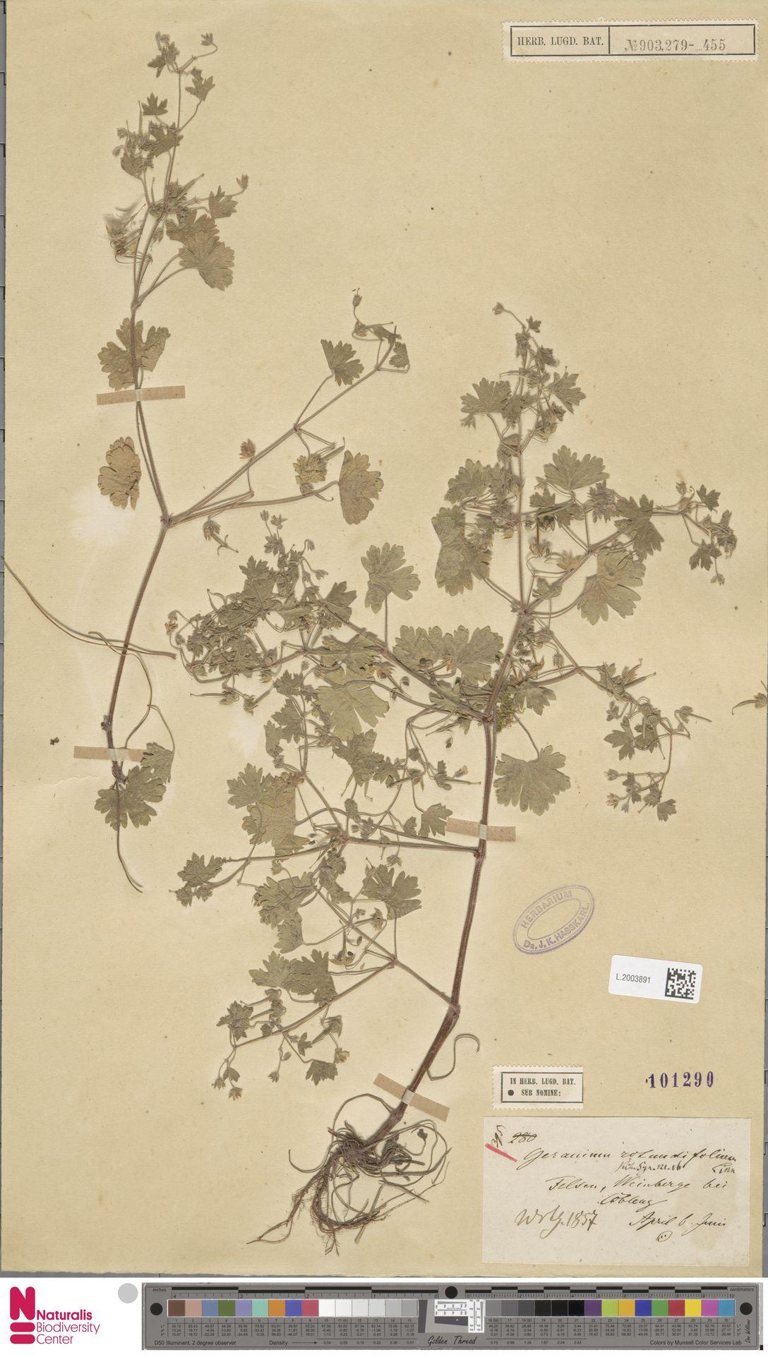 L.2003891 | Geranium rotundifolium L.