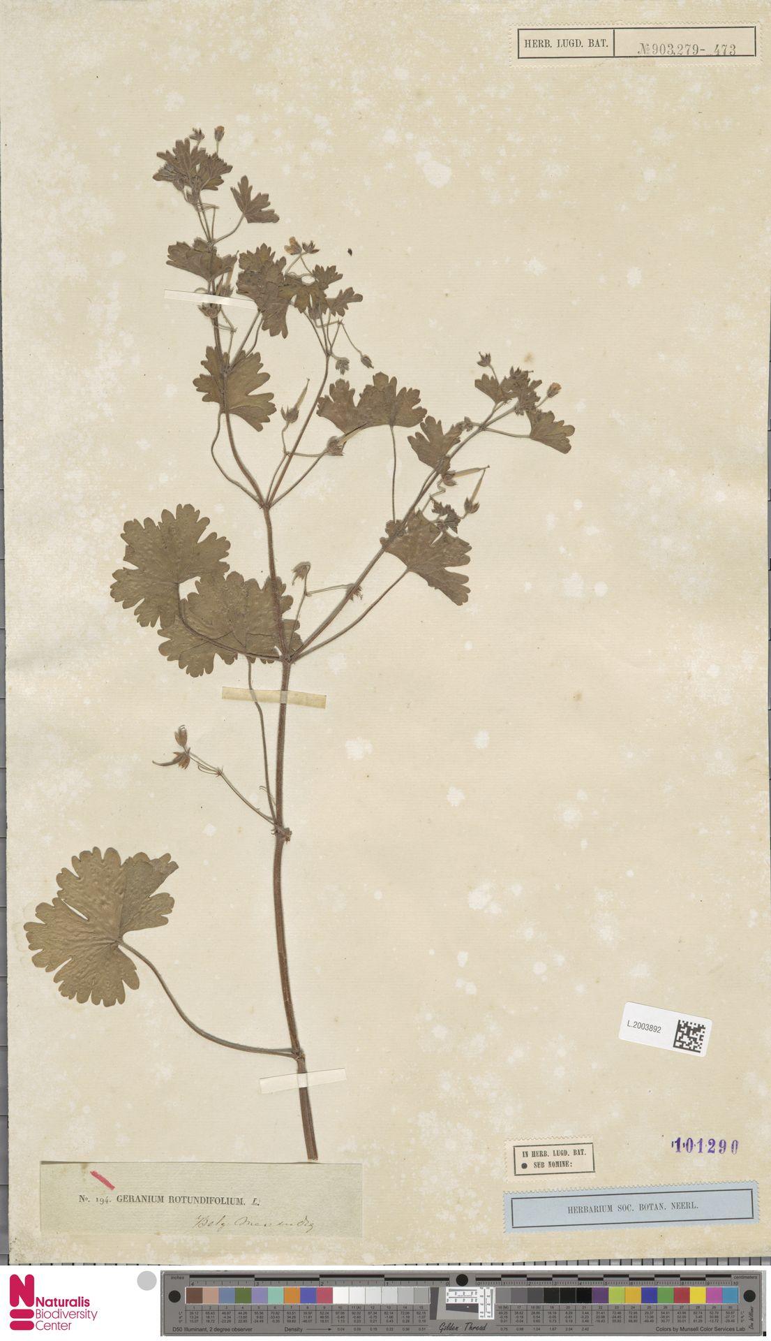 L.2003892 | Geranium rotundifolium L.