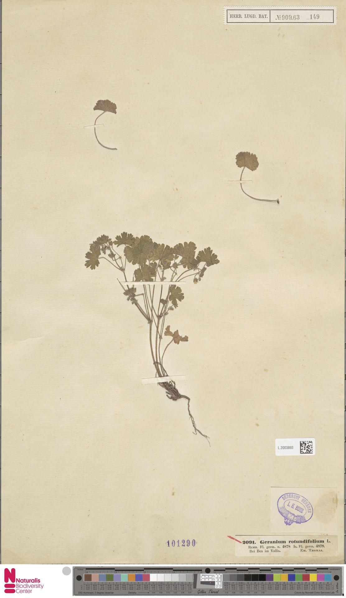 L.2003893   Geranium rotundifolium L.