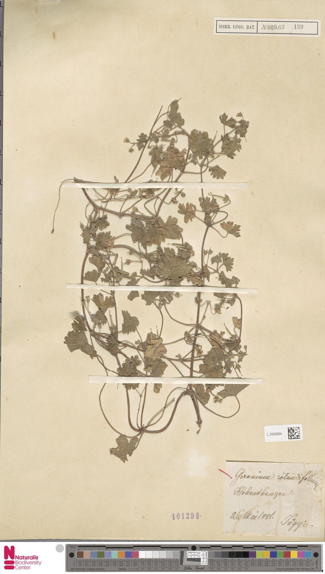 L.2003894   Geranium rotundifolium L.
