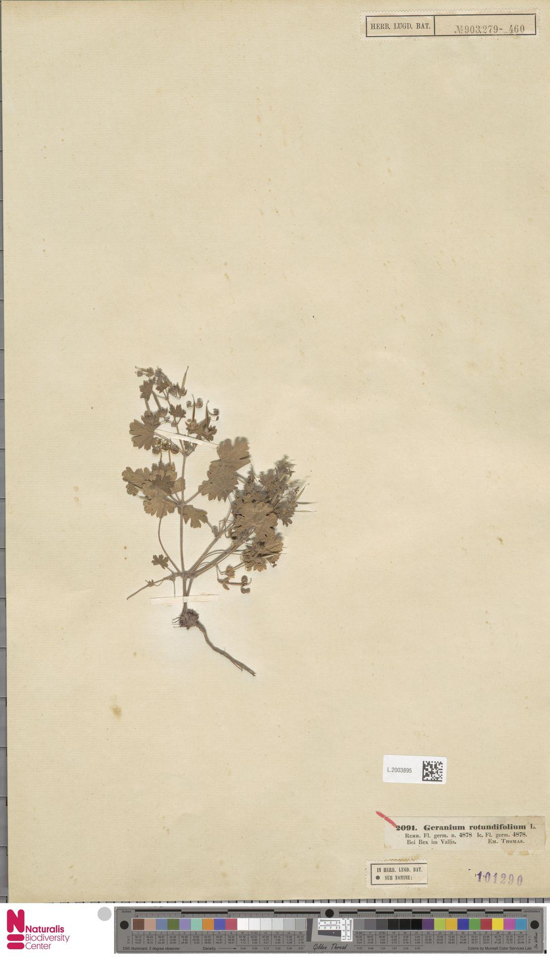L.2003895 | Geranium rotundifolium L.