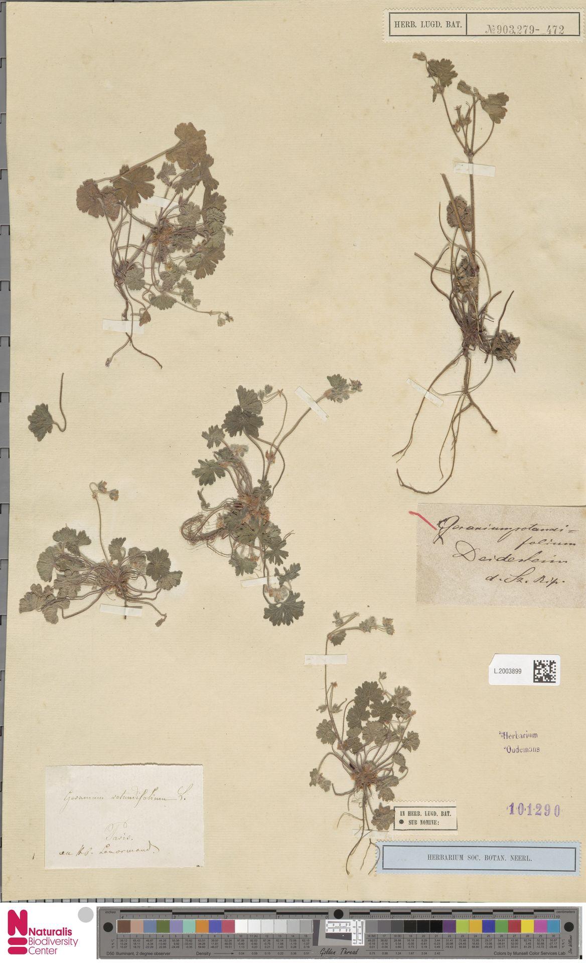 L.2003899 | Geranium rotundifolium L.