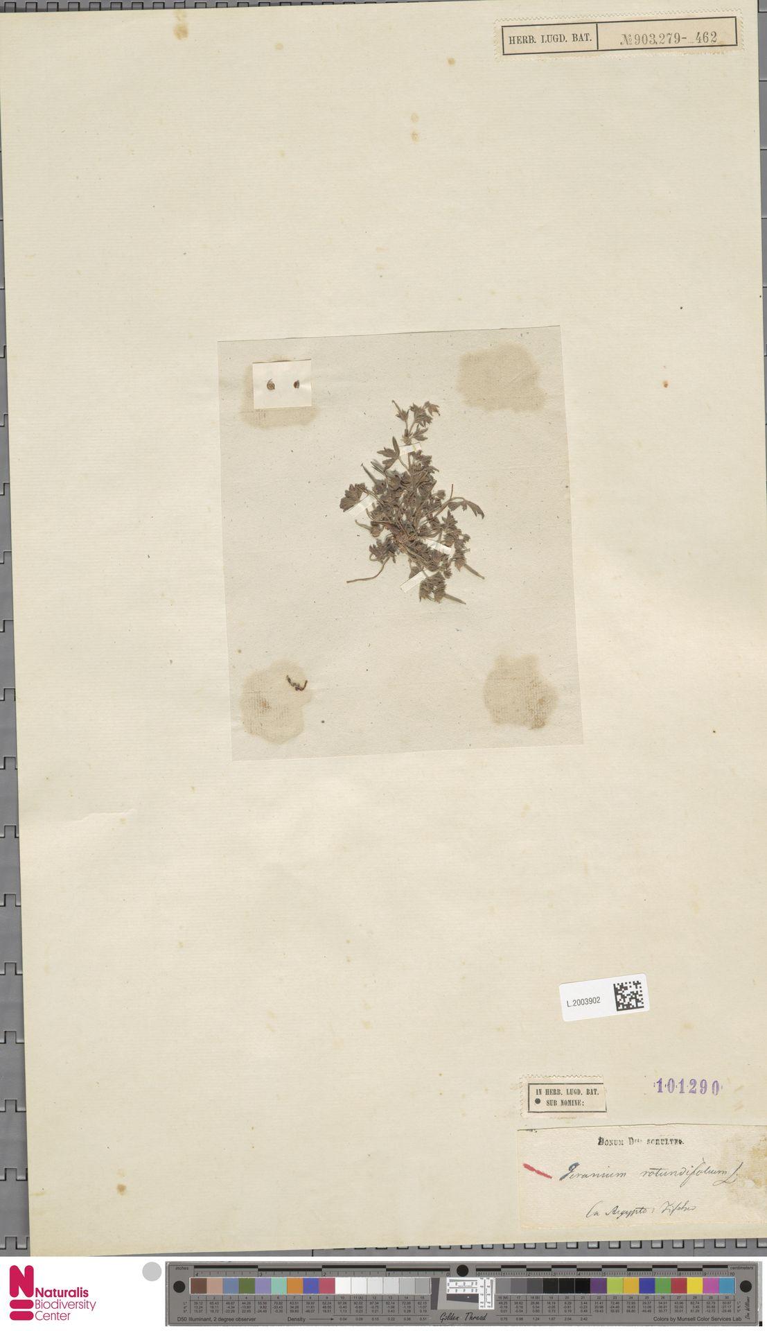 L.2003902   Geranium rotundifolium L.