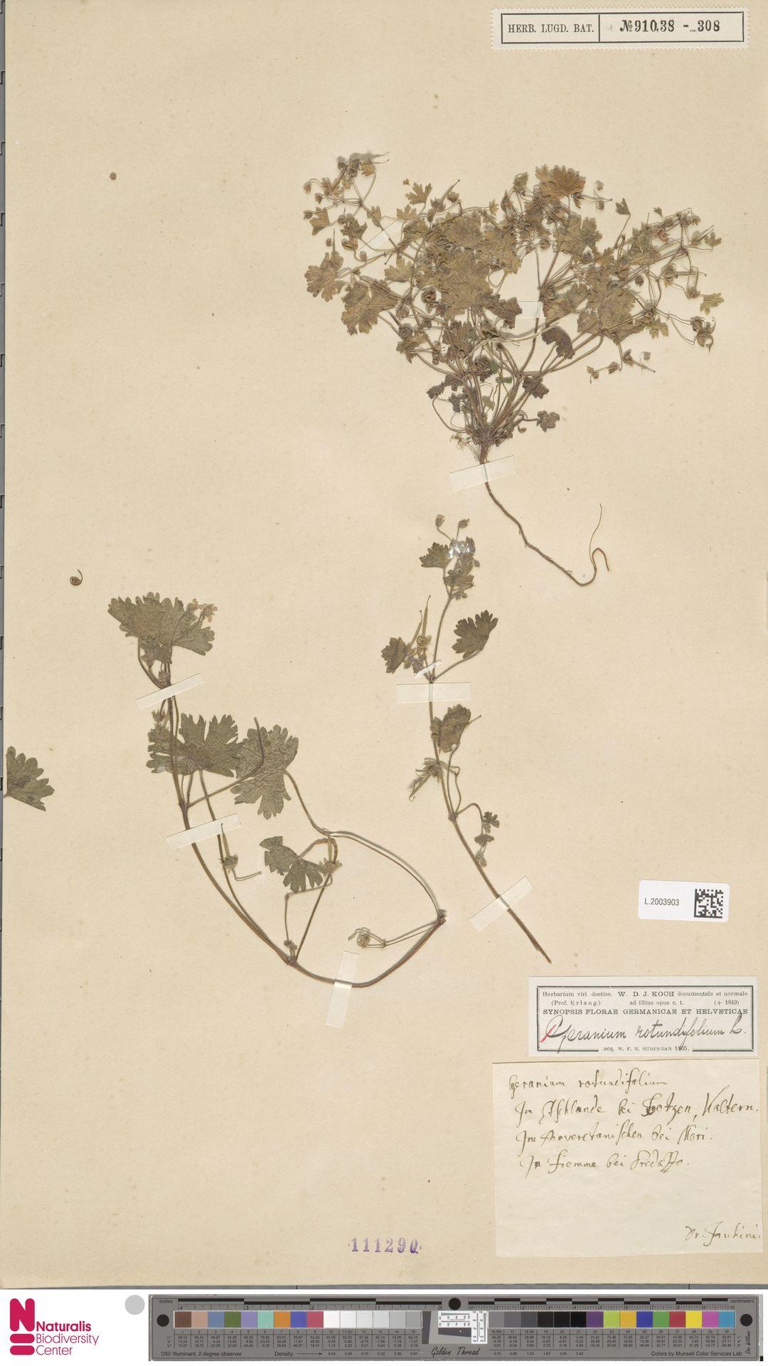 L.2003903 | Geranium rotundifolium L.