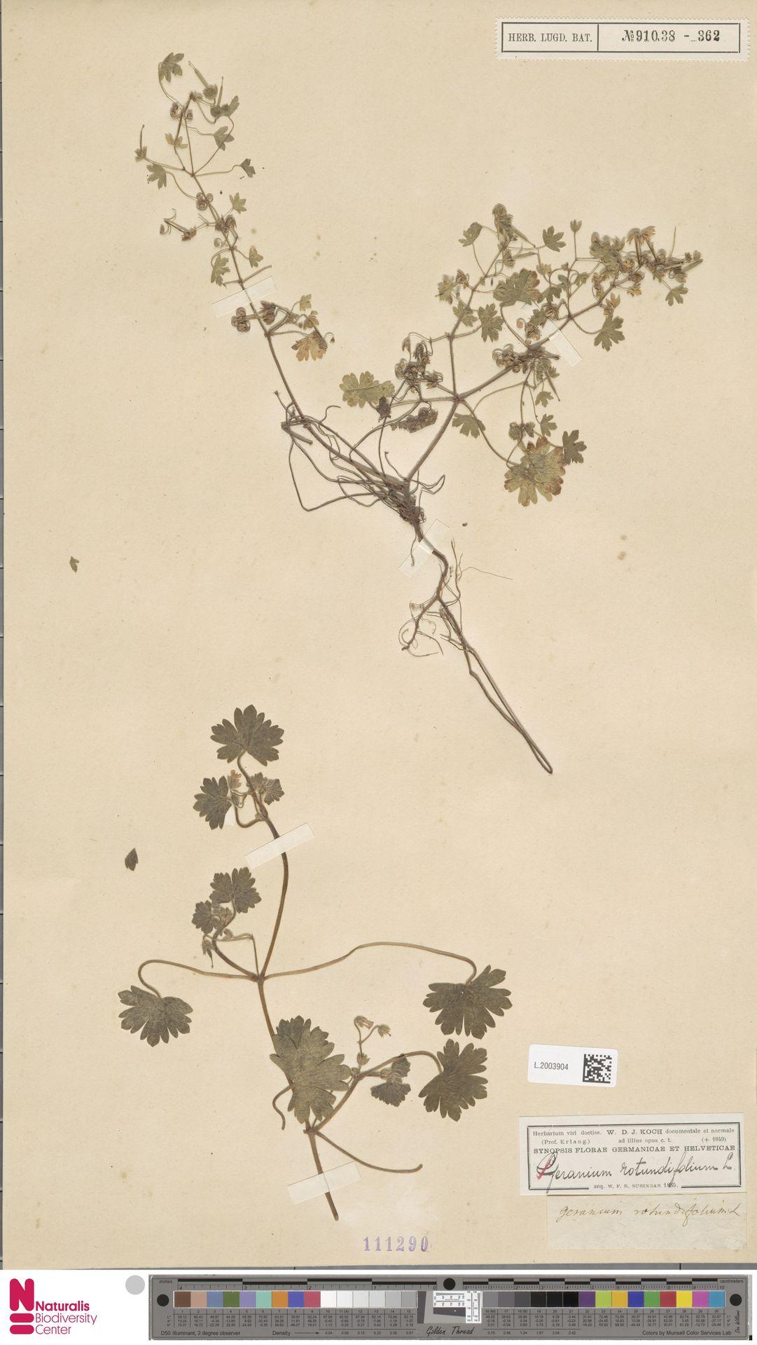 L.2003904   Geranium rotundifolium L.