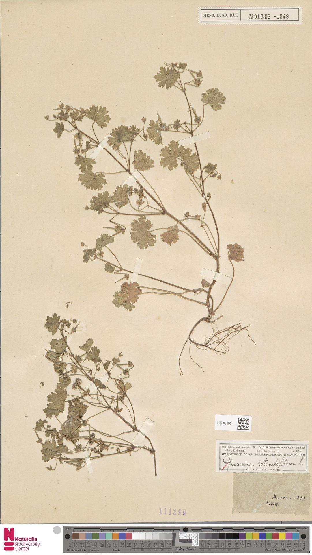 L.2003905   Geranium rotundifolium L.