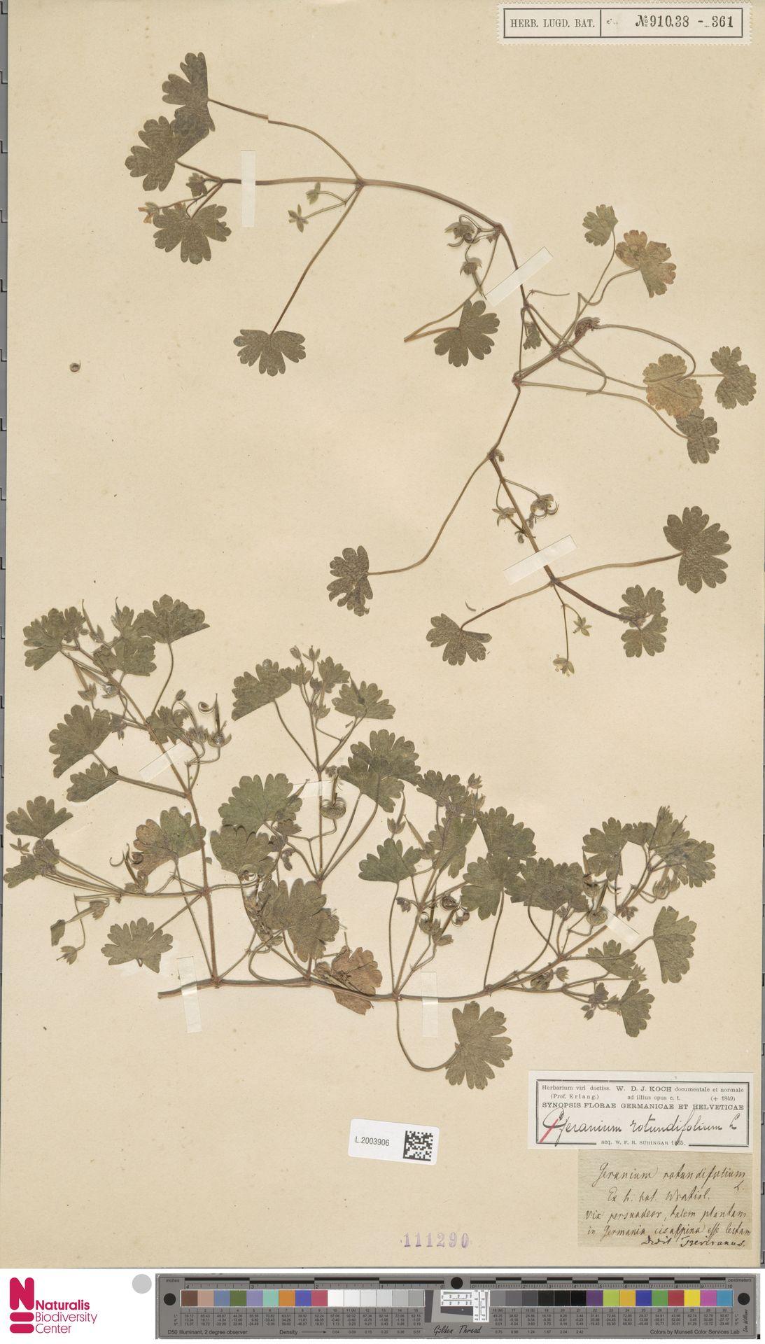 L.2003906   Geranium rotundifolium L.