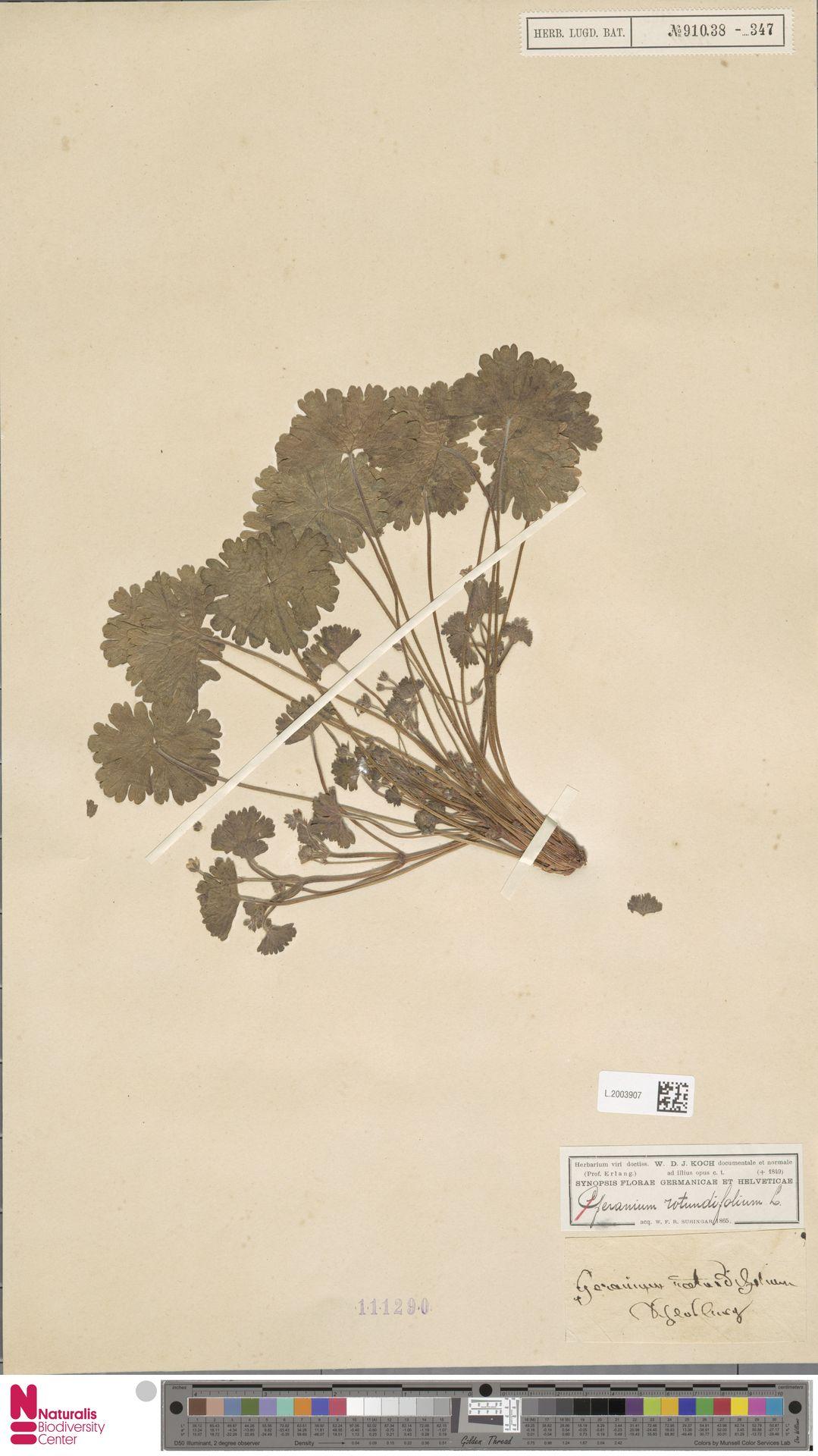 L.2003907 | Geranium rotundifolium L.