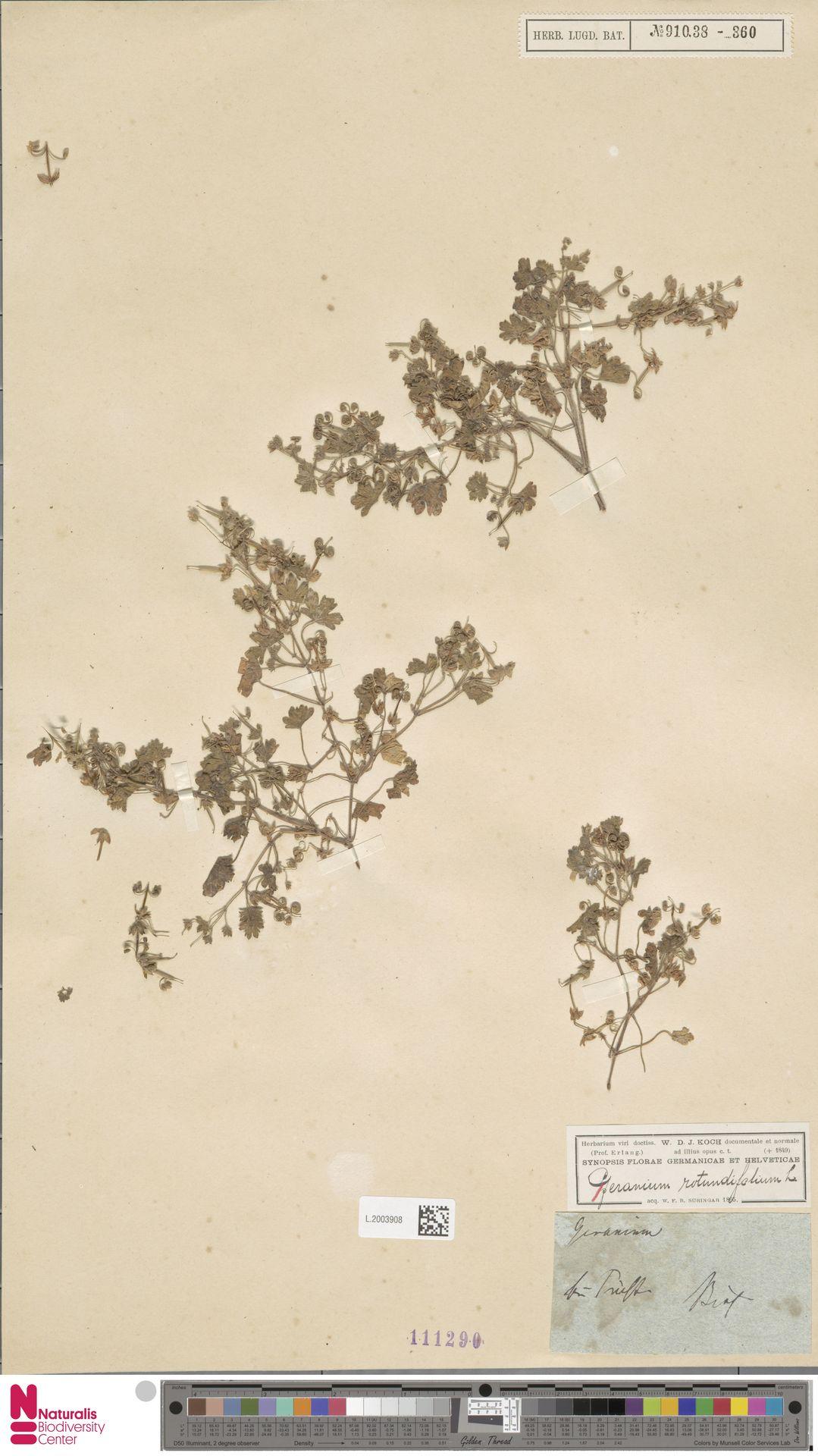L.2003908 | Geranium rotundifolium L.