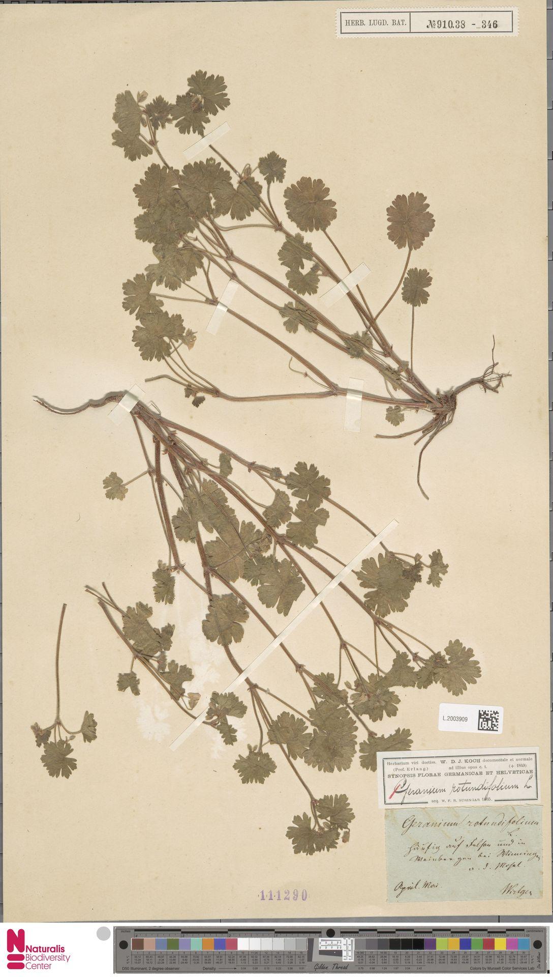 L.2003909   Geranium rotundifolium L.