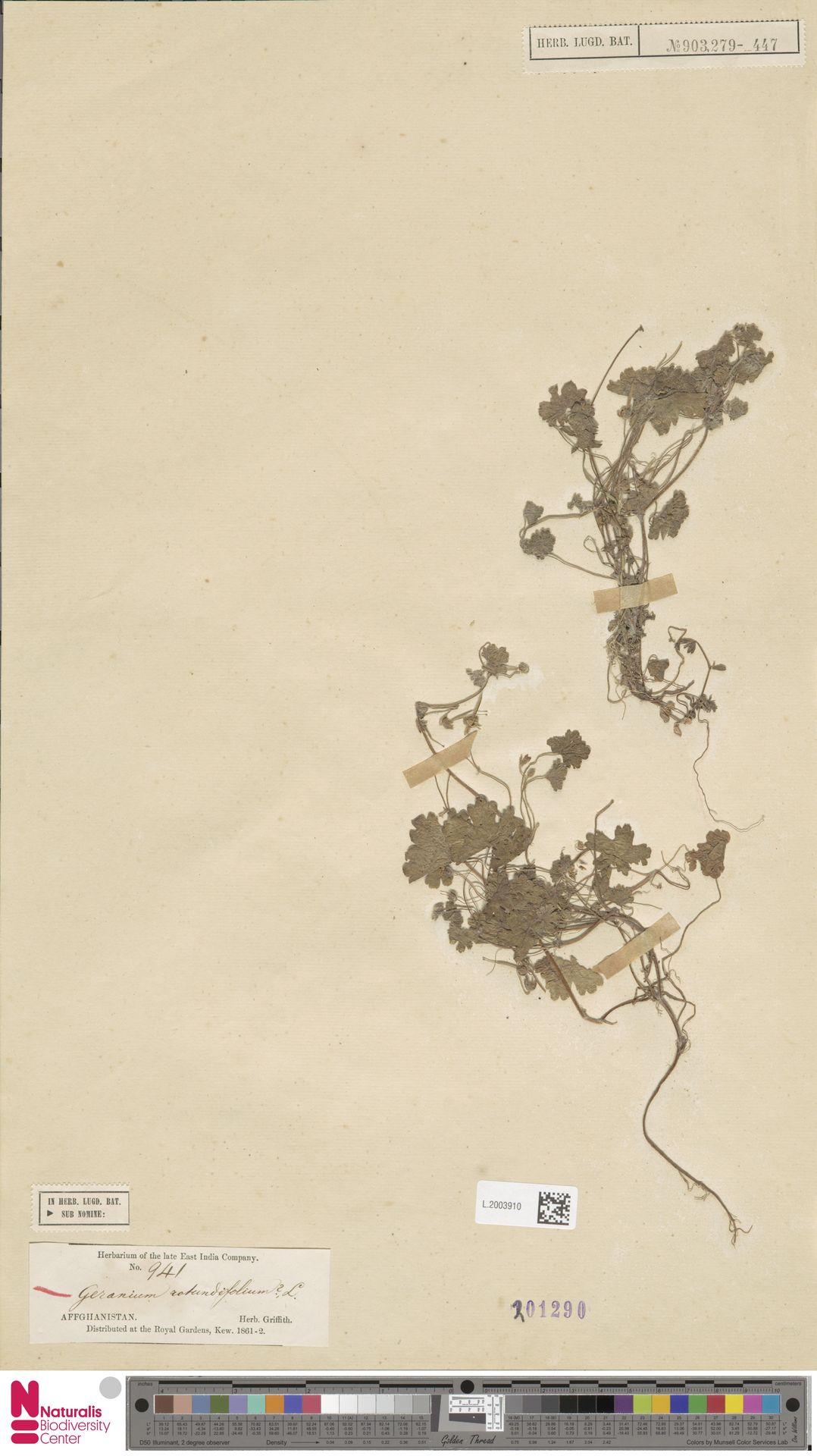 L.2003910 | Geranium rotundifolium L.