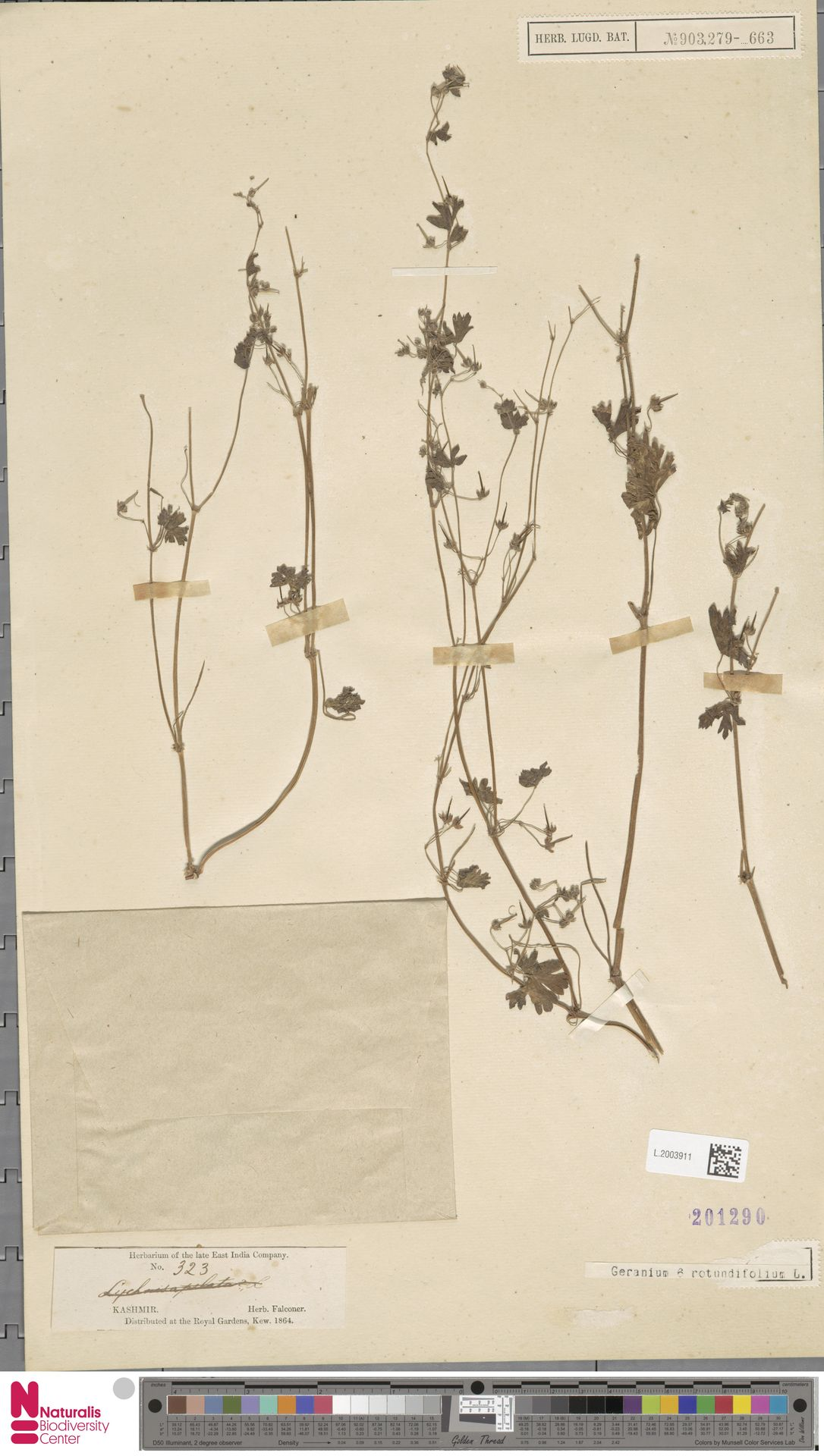L.2003911   Geranium rotundifolium L.