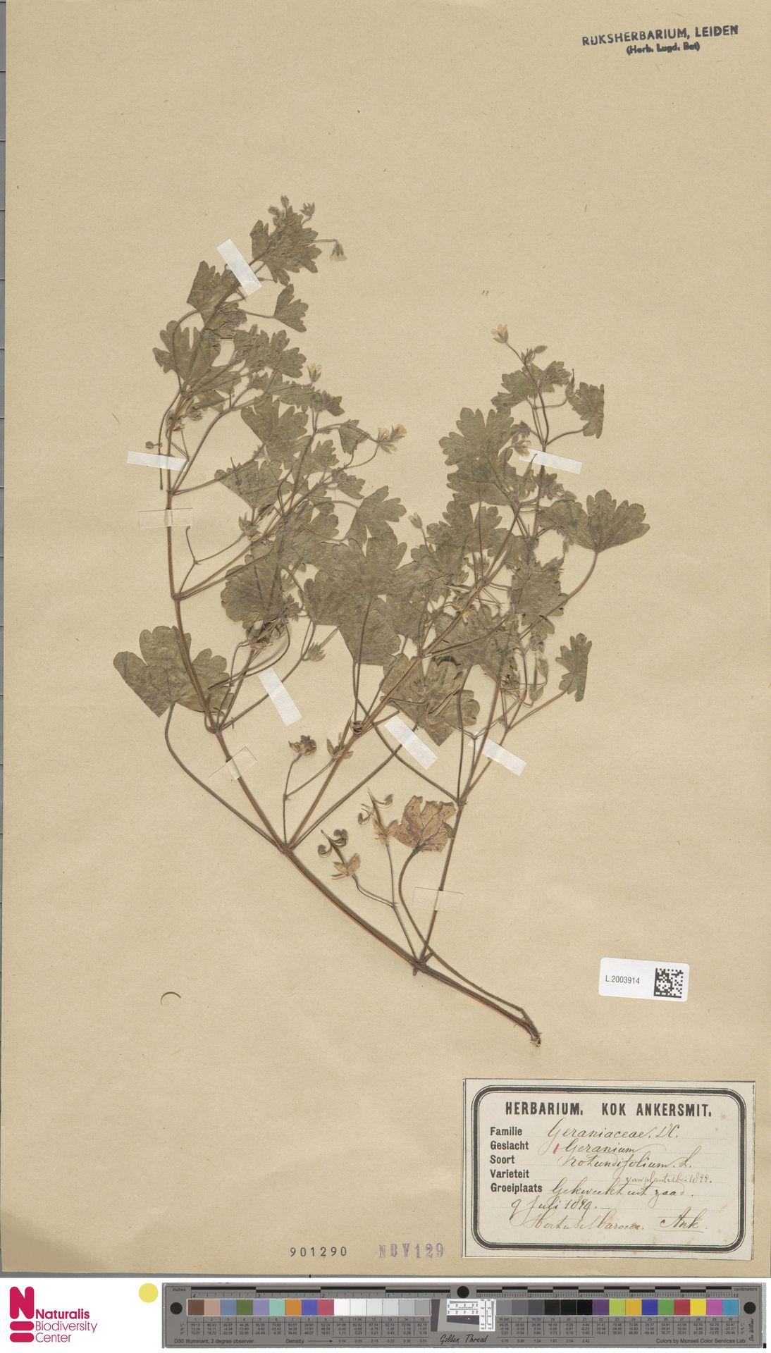 L.2003914 | Geranium rotundifolium L.