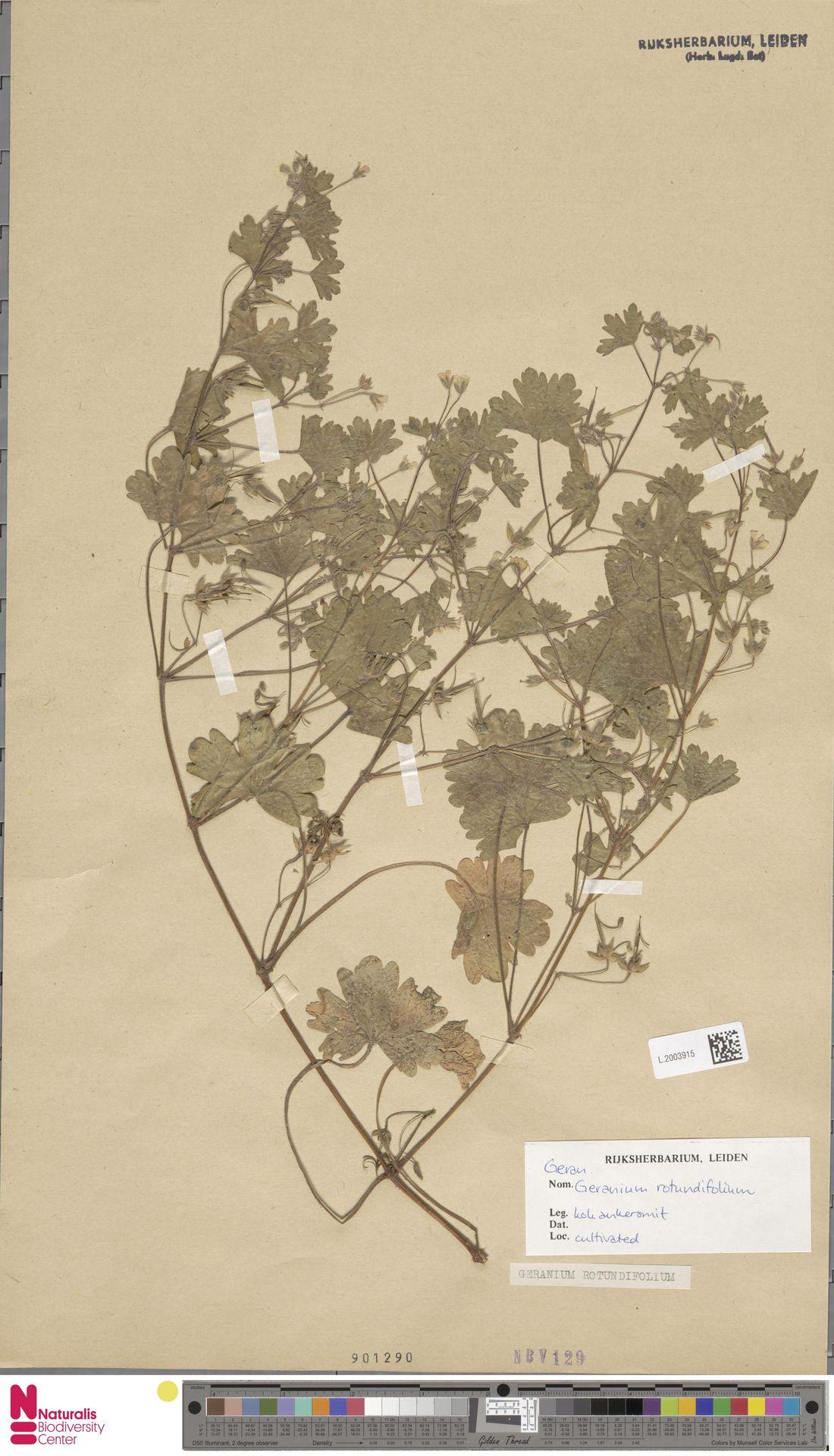 L.2003915 | Geranium rotundifolium L.
