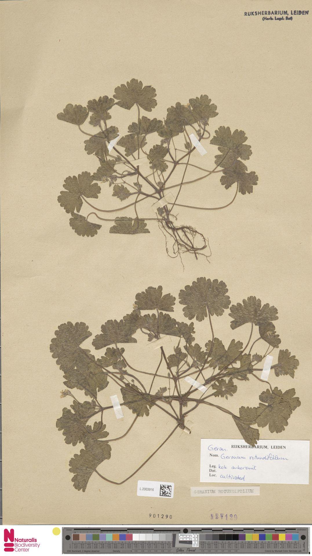 L.2003916 | Geranium rotundifolium L.