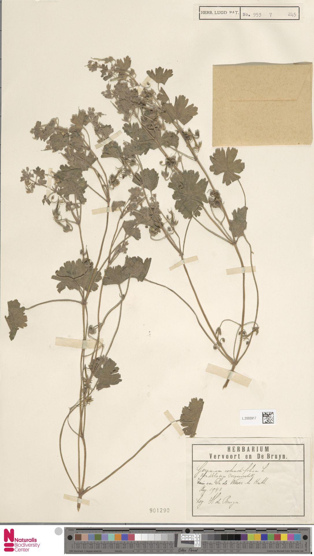 L.2003917   Geranium rotundifolium L.