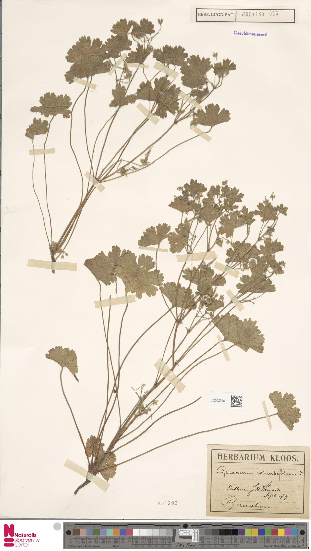 L.2003918 | Geranium rotundifolium L.