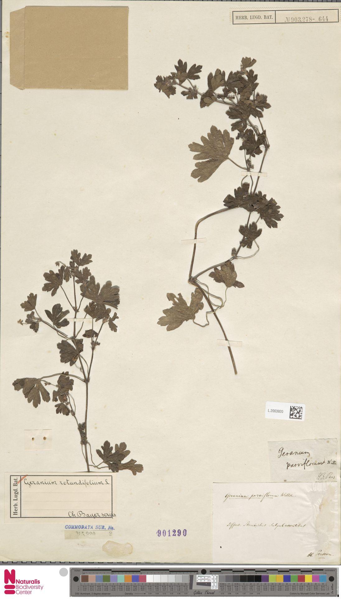 L.2003920   Geranium rotundifolium L.