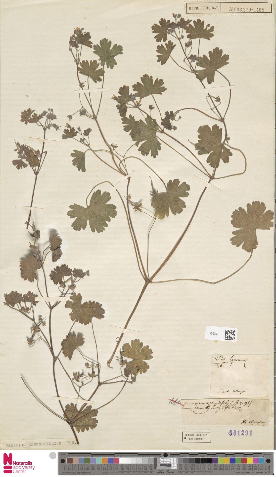 L.2003921 | Geranium rotundifolium L.