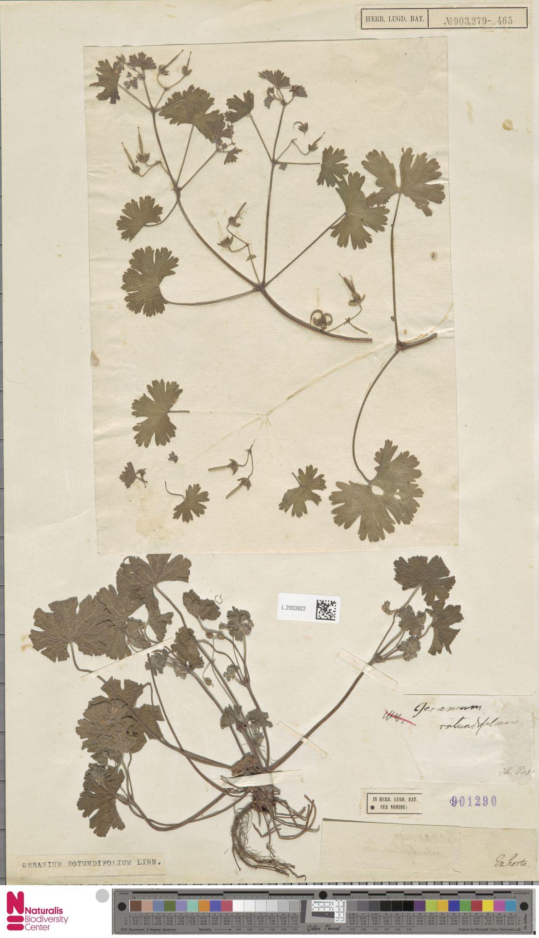 L.2003922   Geranium rotundifolium L.