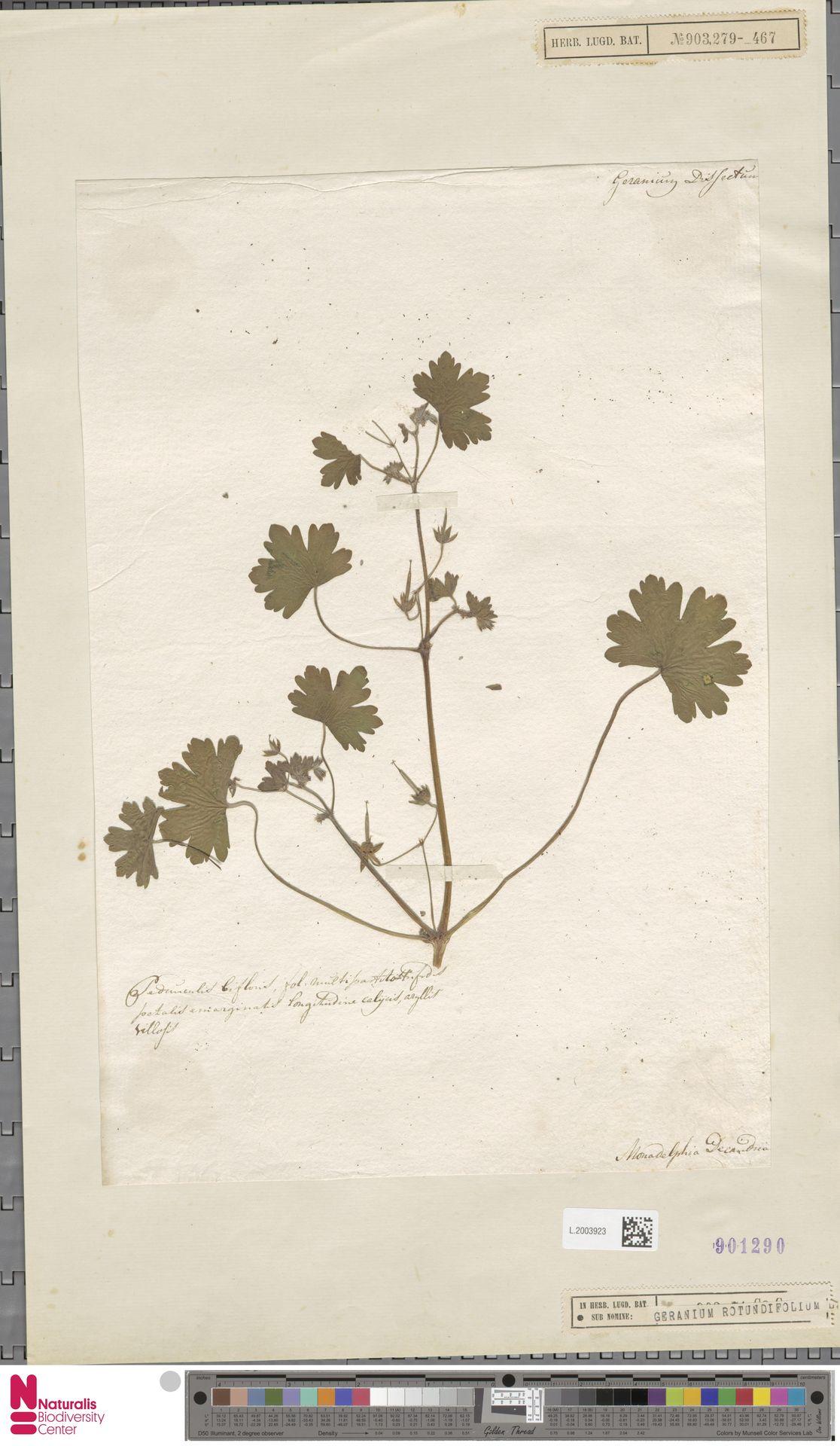 L.2003923 | Geranium rotundifolium L.