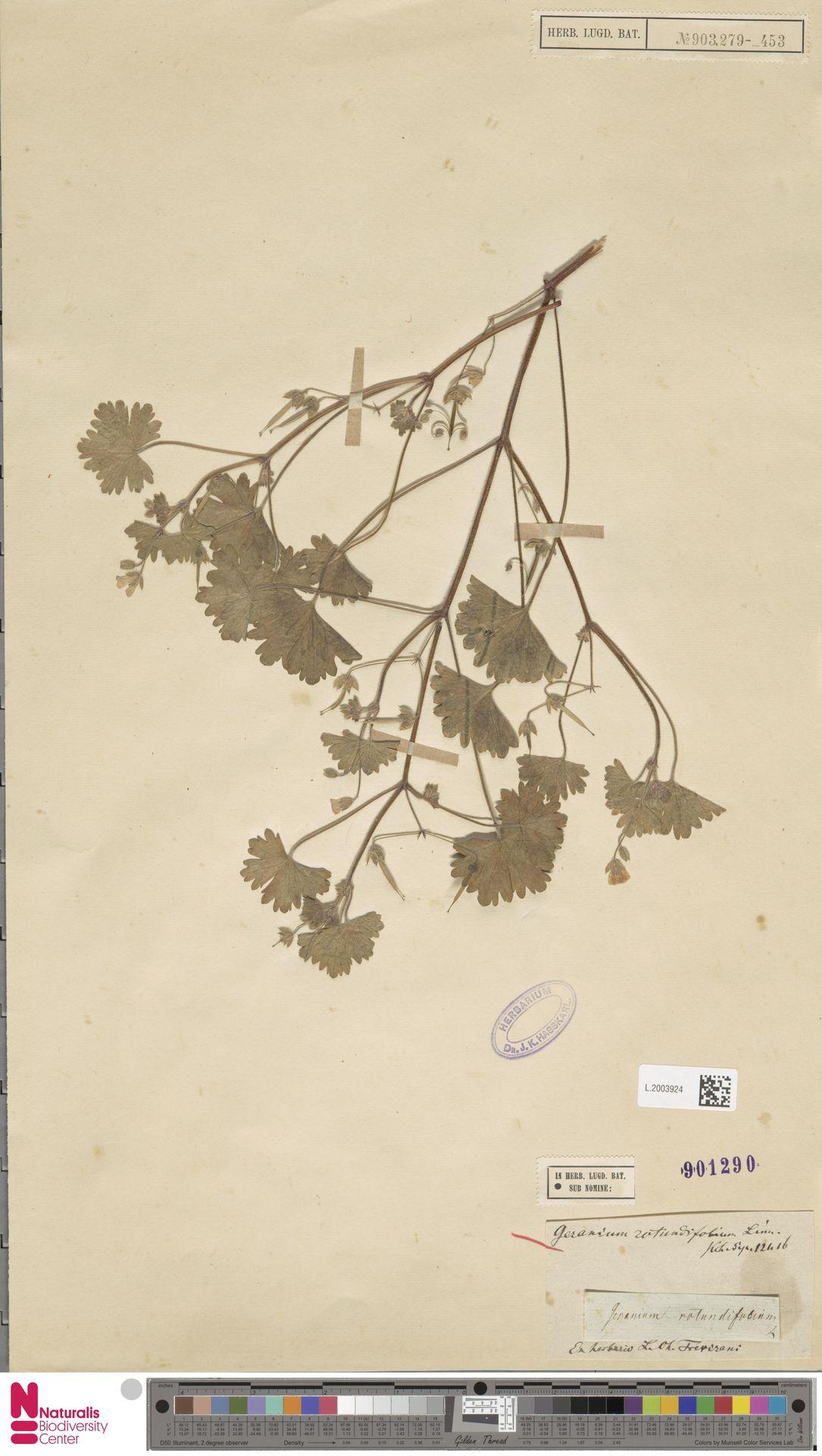 L.2003924 | Geranium rotundifolium L.