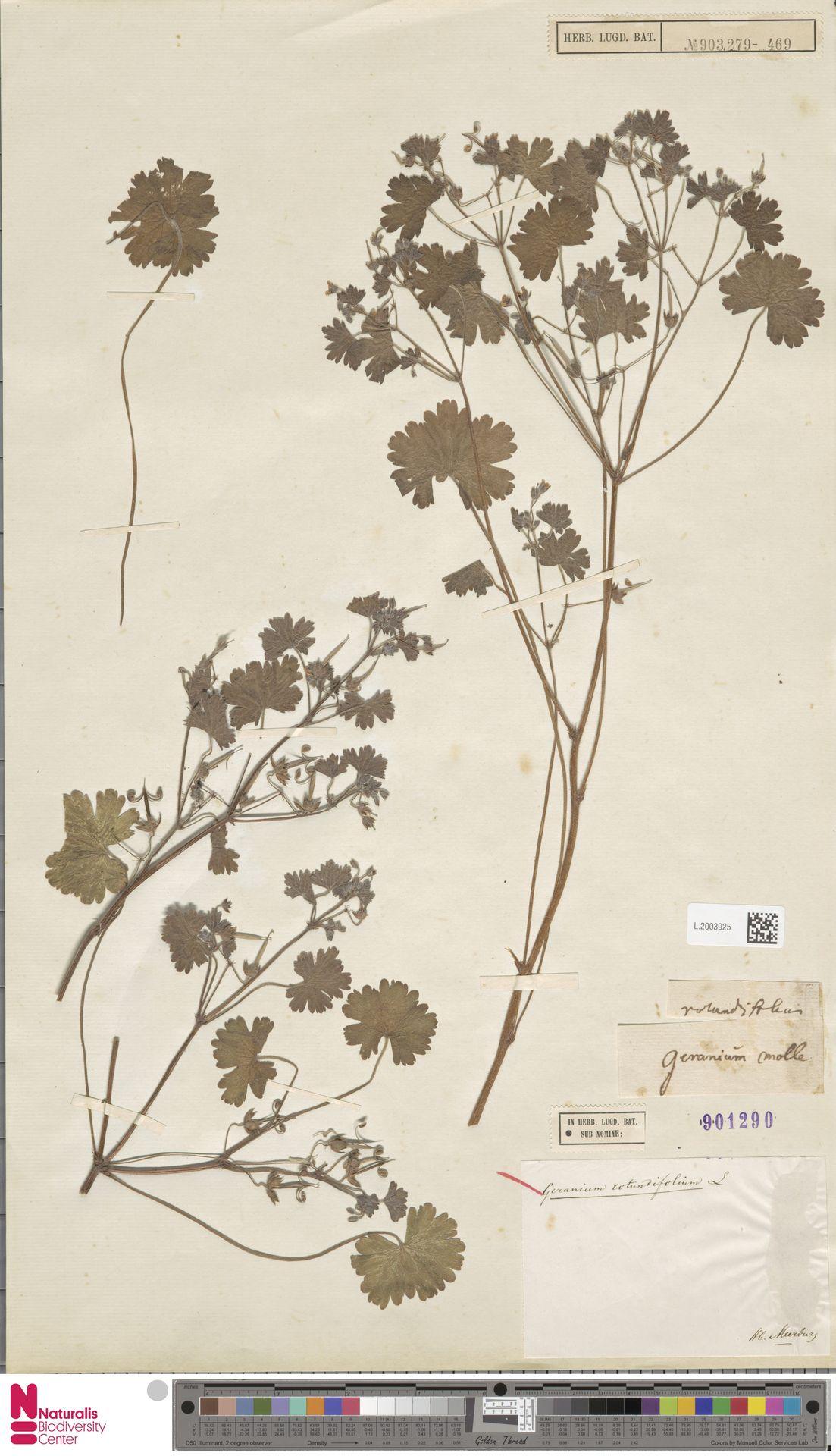L.2003925 | Geranium rotundifolium L.