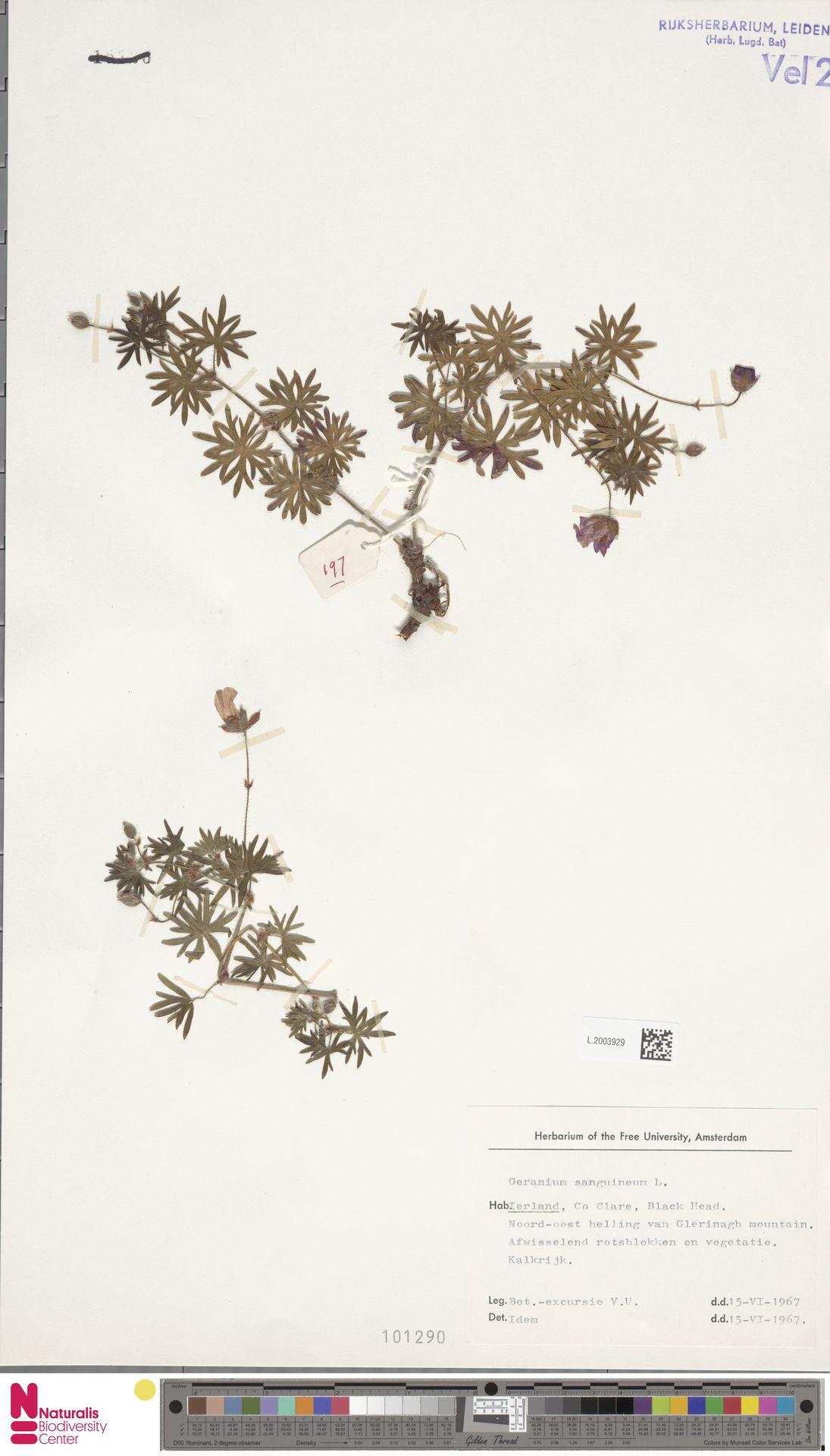 L.2003929   Geranium sanguineum L.
