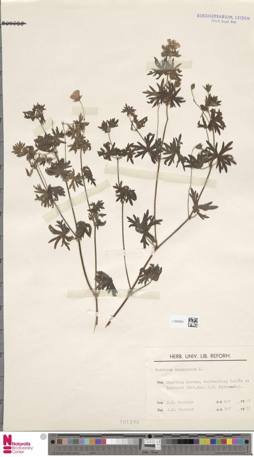 L.2003930   Geranium sanguineum L.