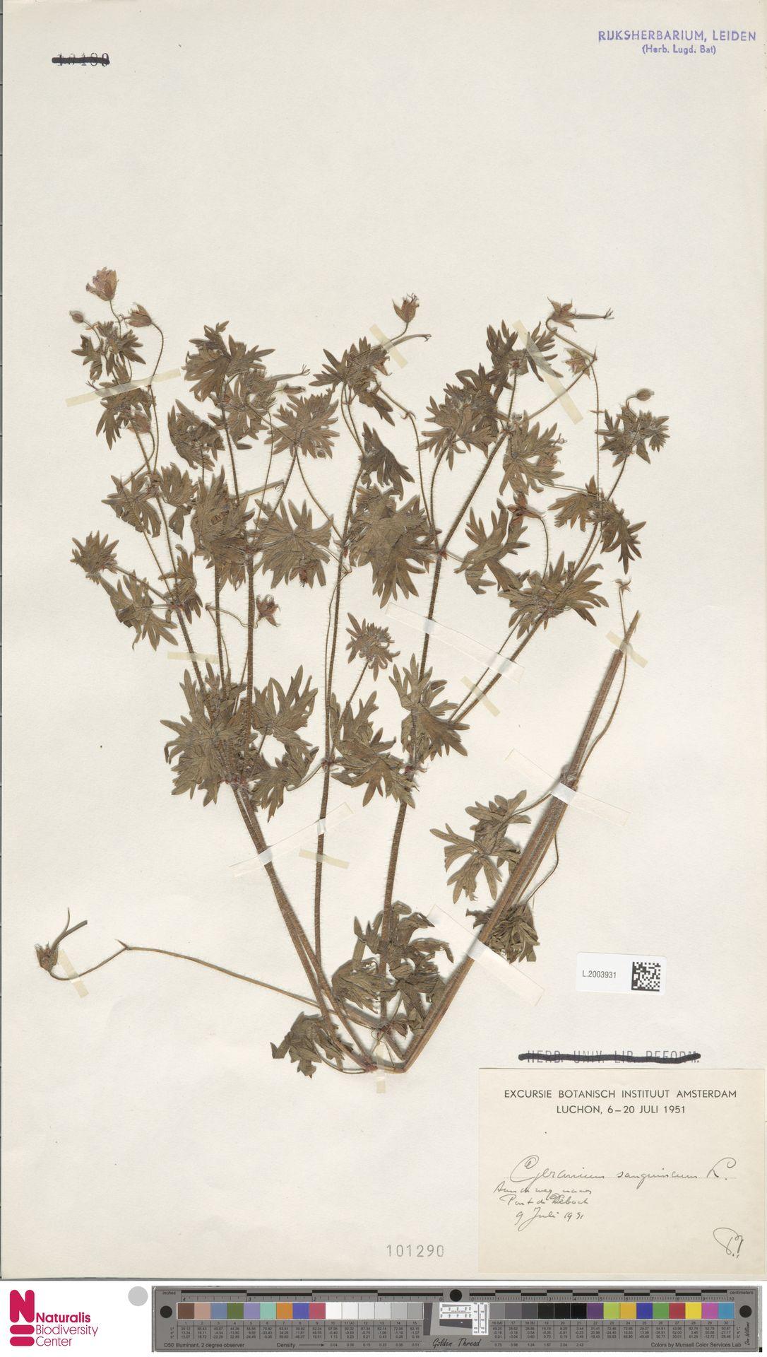 L.2003931 | Geranium sanguineum L.