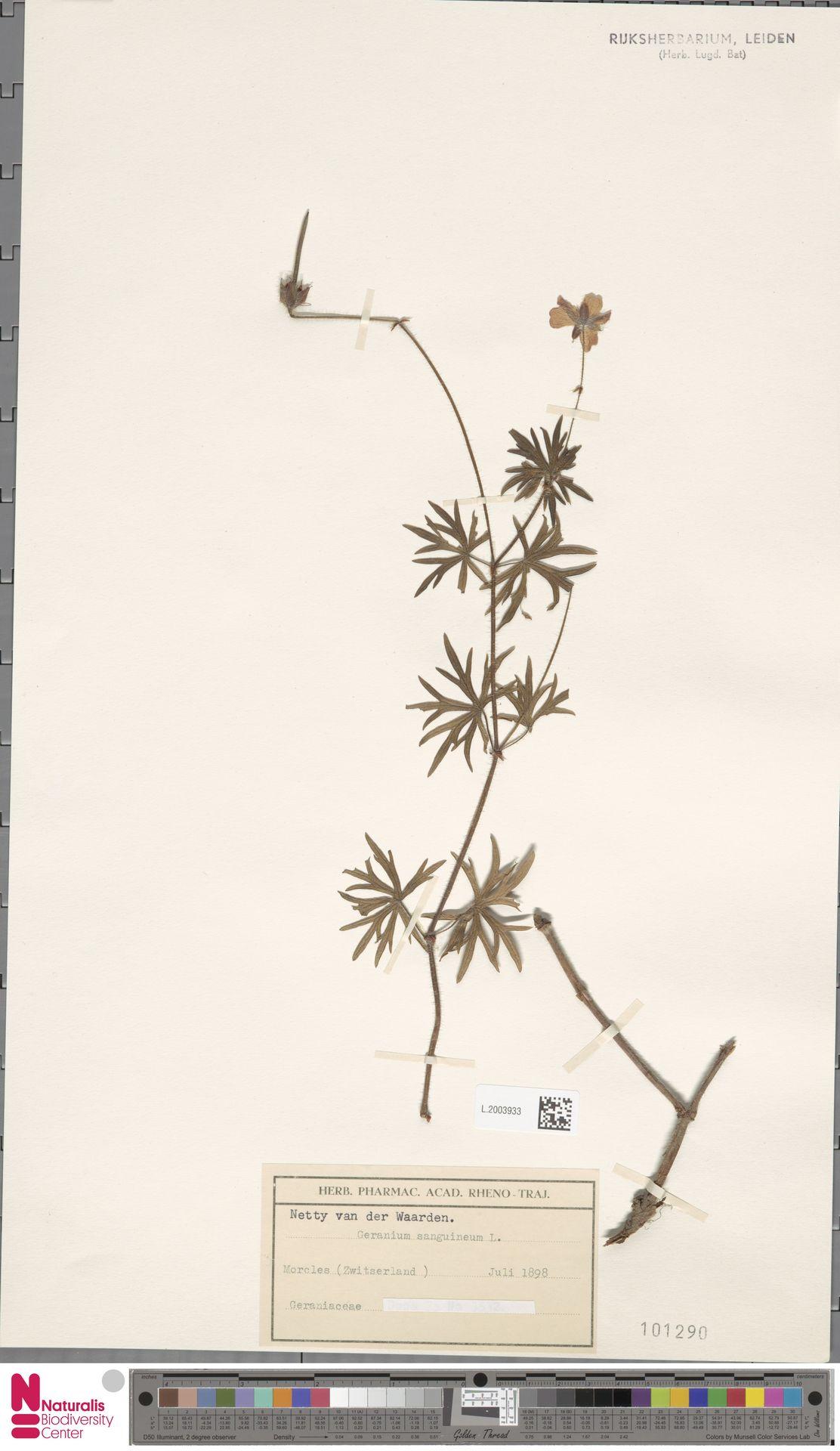 L.2003933   Geranium sanguineum L.