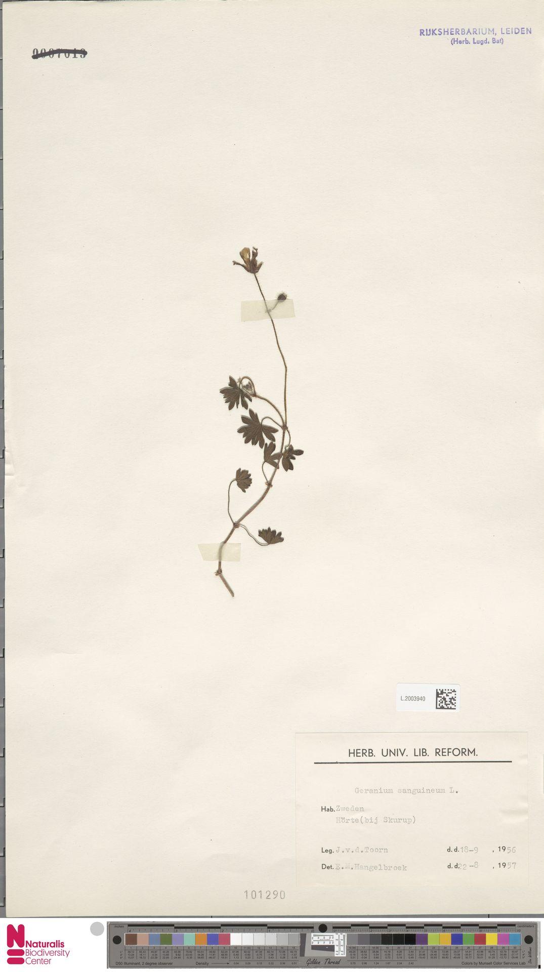 L.2003940   Geranium sanguineum L.