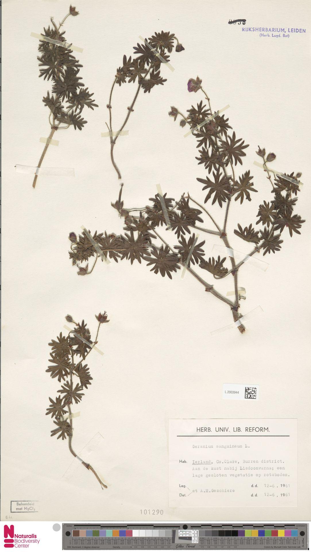 L.2003944 | Geranium sanguineum L.