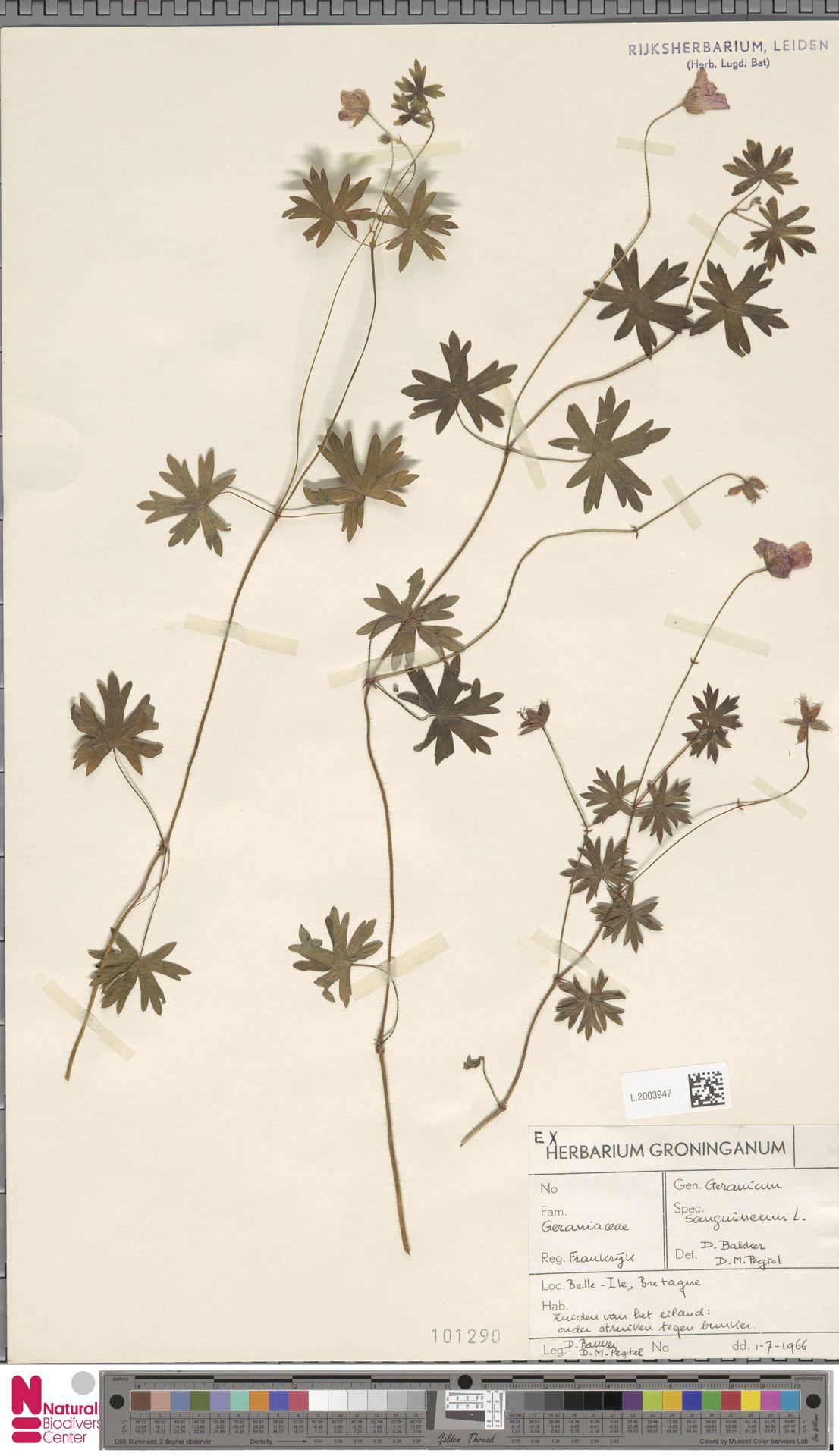 L.2003947 | Geranium sanguineum L.
