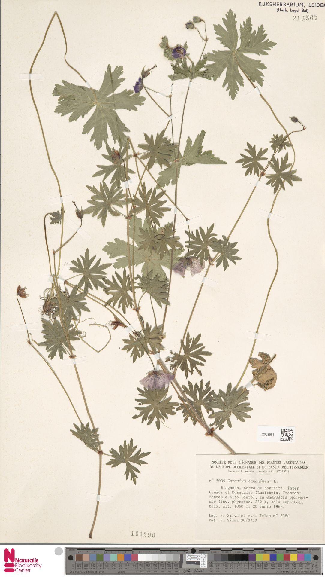 L.2003951   Geranium sanguineum L.